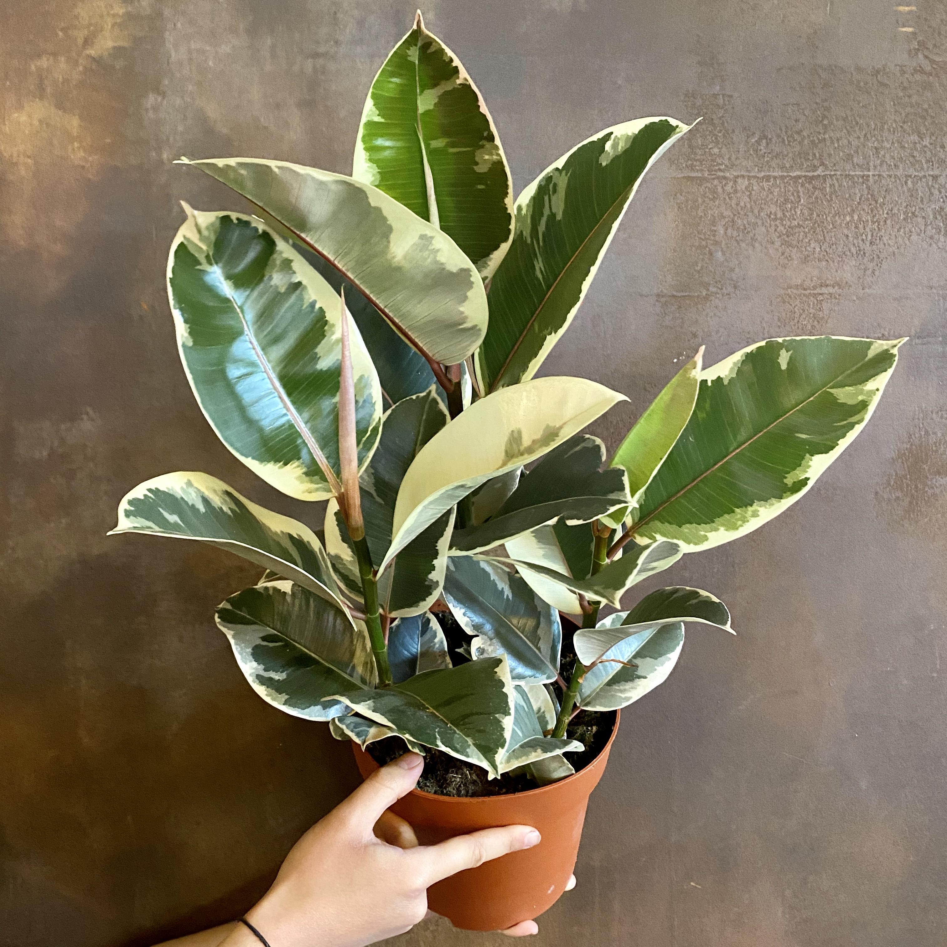 Ficus elastica 'Tineke' (19cm pot)