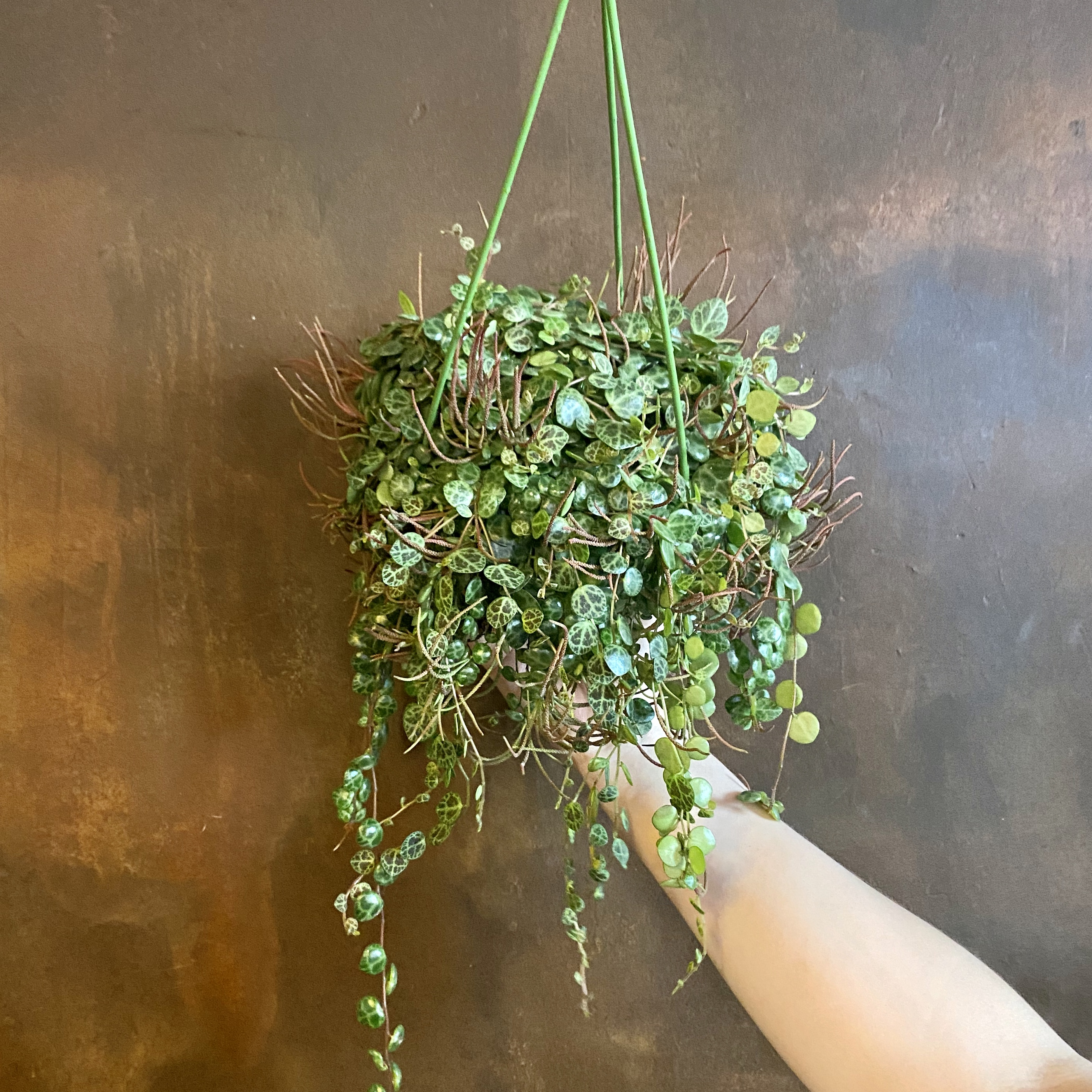 A String of Turtles (Peperomia prostrata)