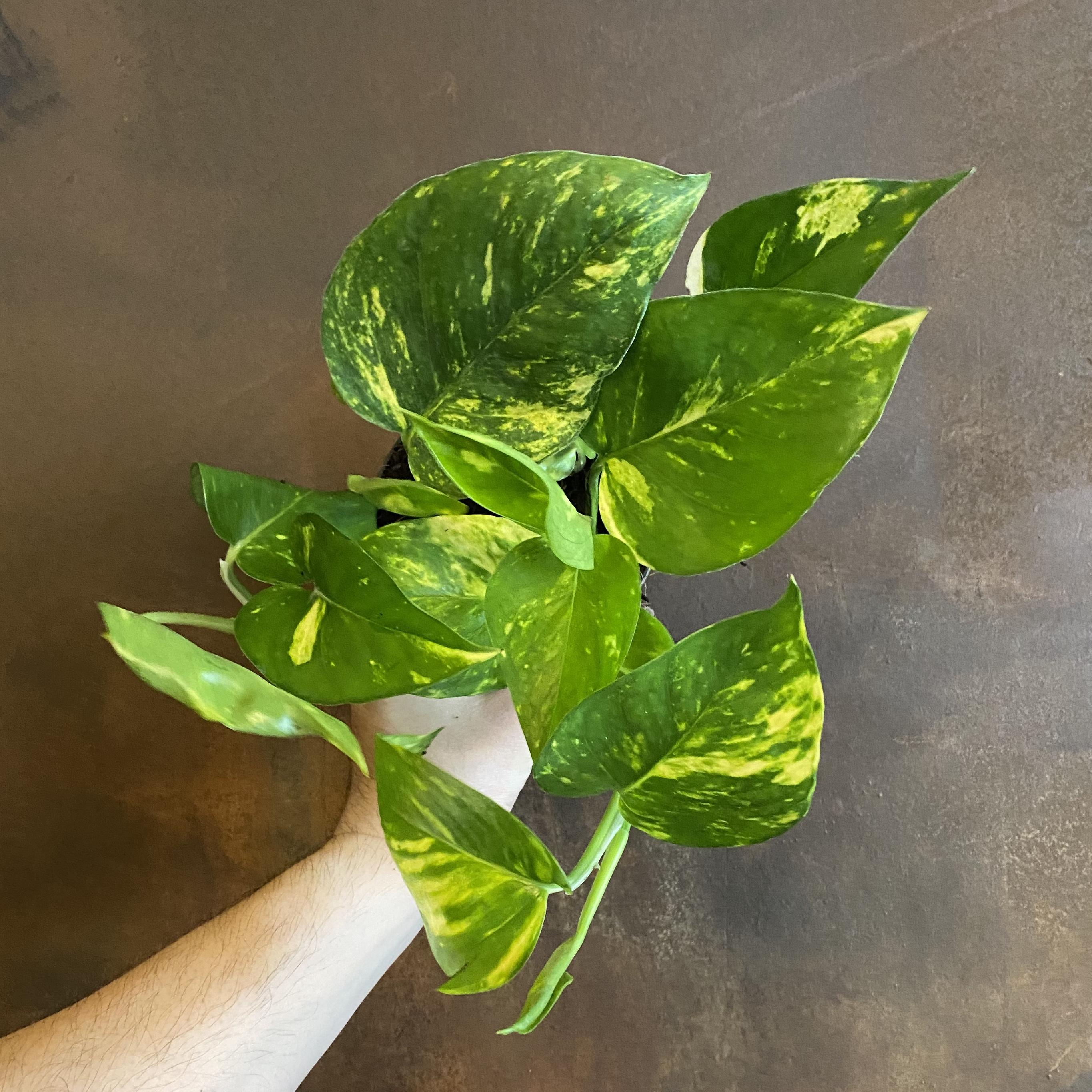 Epipremnum aureum (12cm pot)