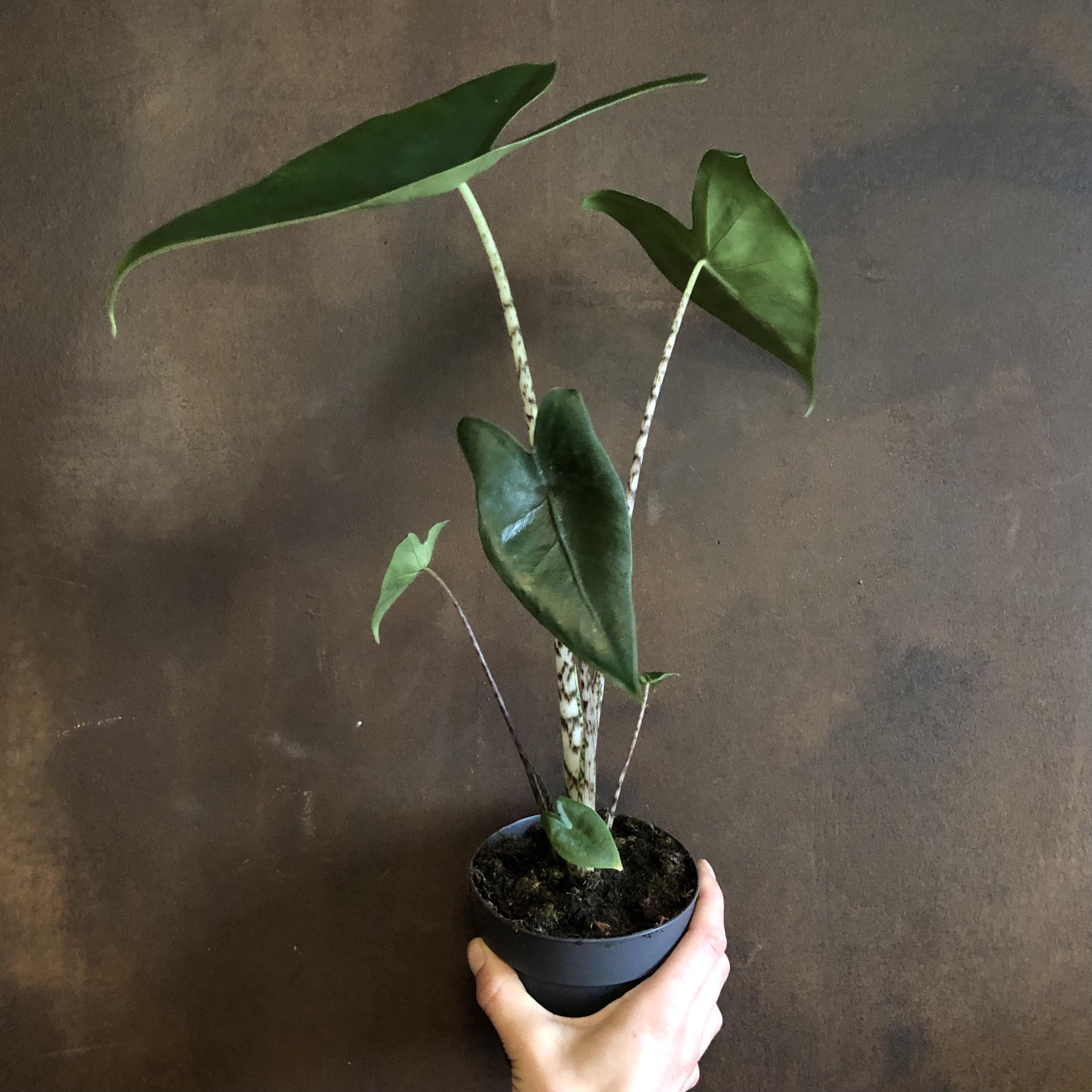 Alocasia zebrina (11cm pot)