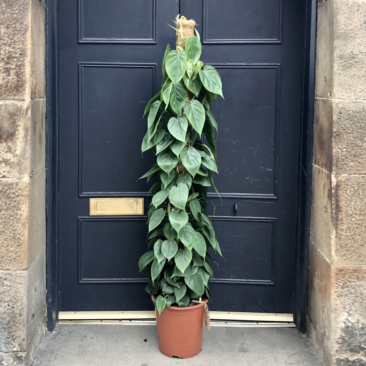 Philodendron scandens on Moss Pole (27cm pot)