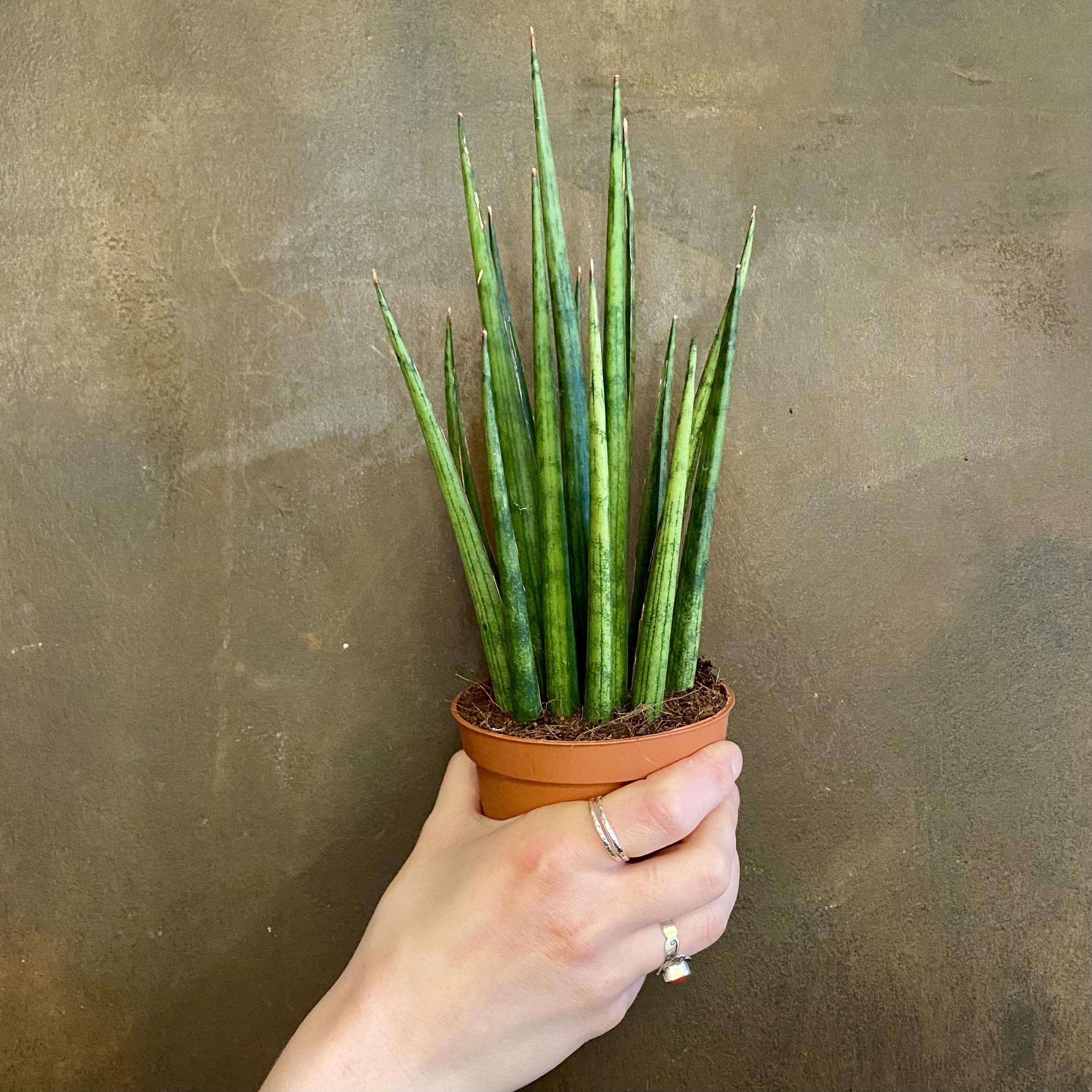 Sansevieria 'Mikado' (10cm pot)