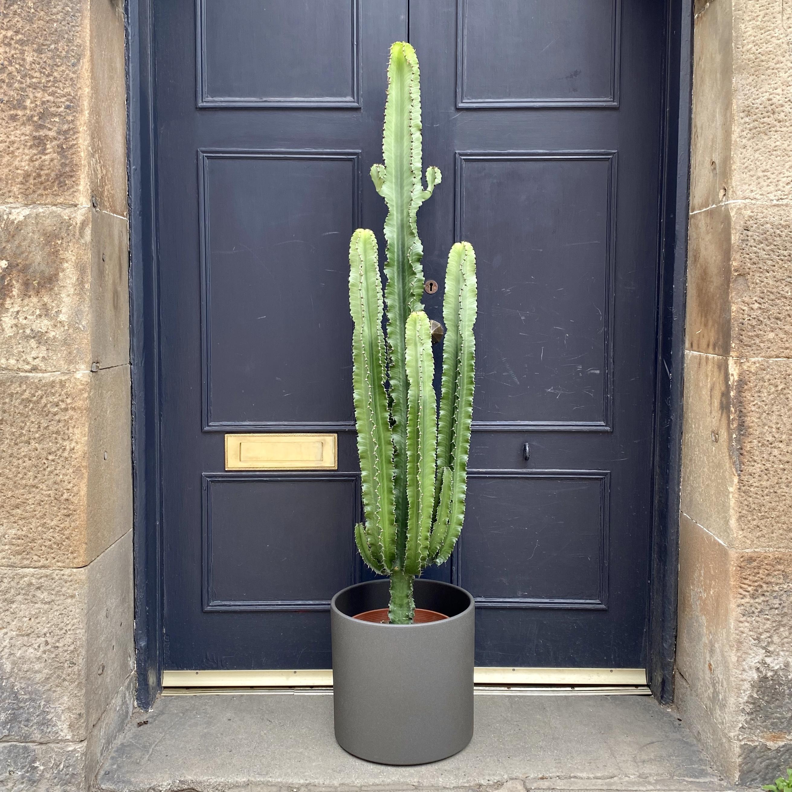 Euphorbia 'Eritrea' (27cm pot) - PICKUP ONLY
