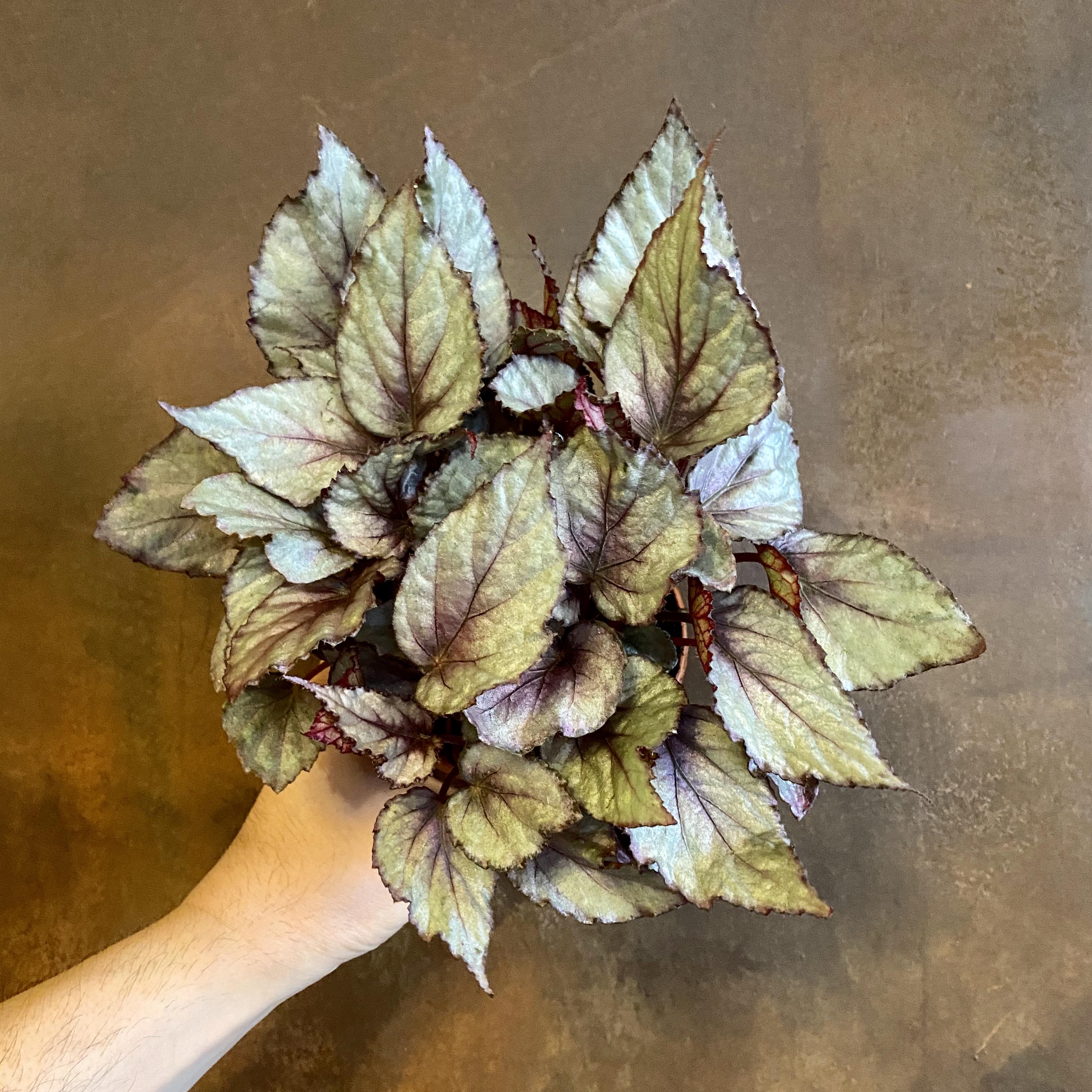 Begonia rex 'Maori Haze'