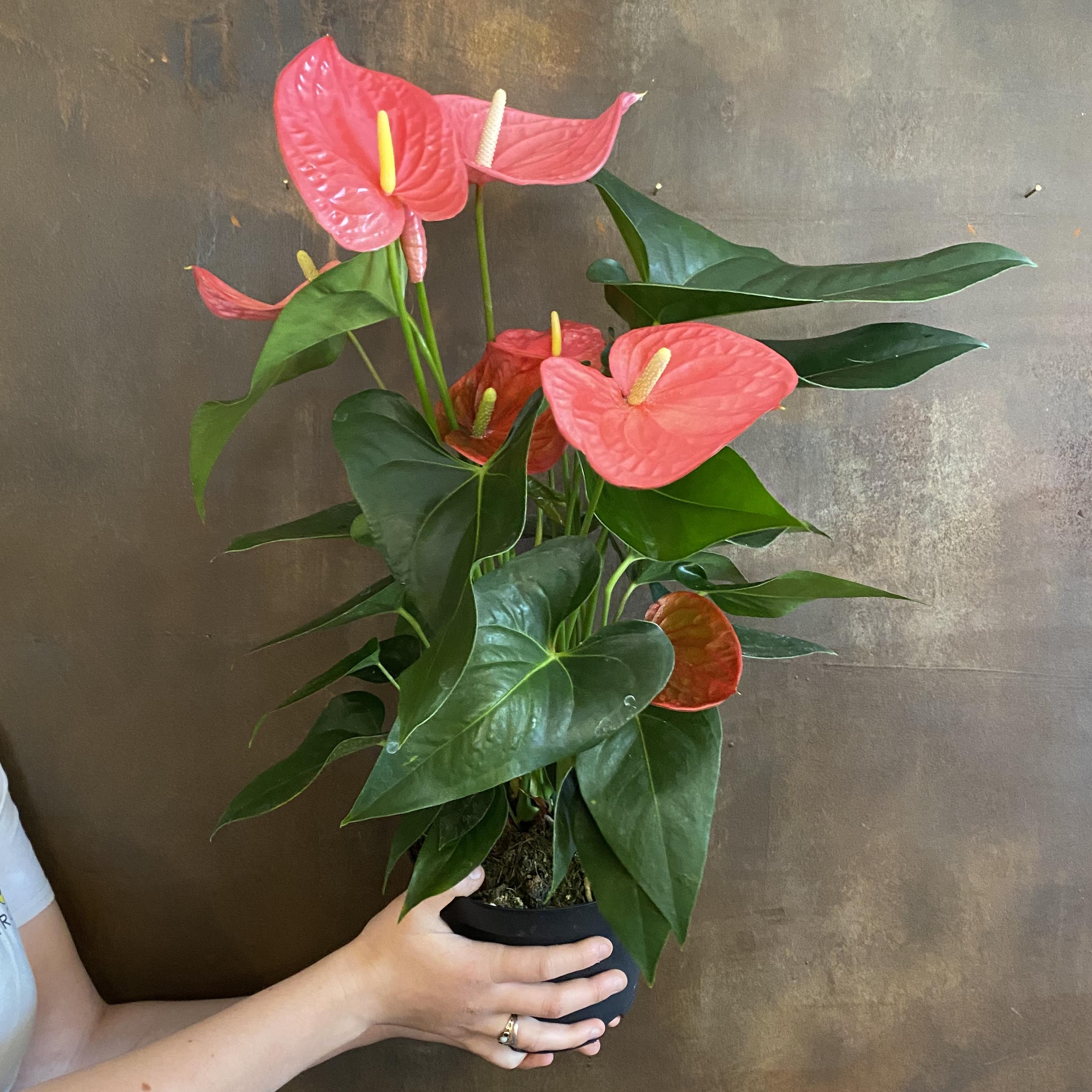 Anthurium 'Pink' (17cm pot)