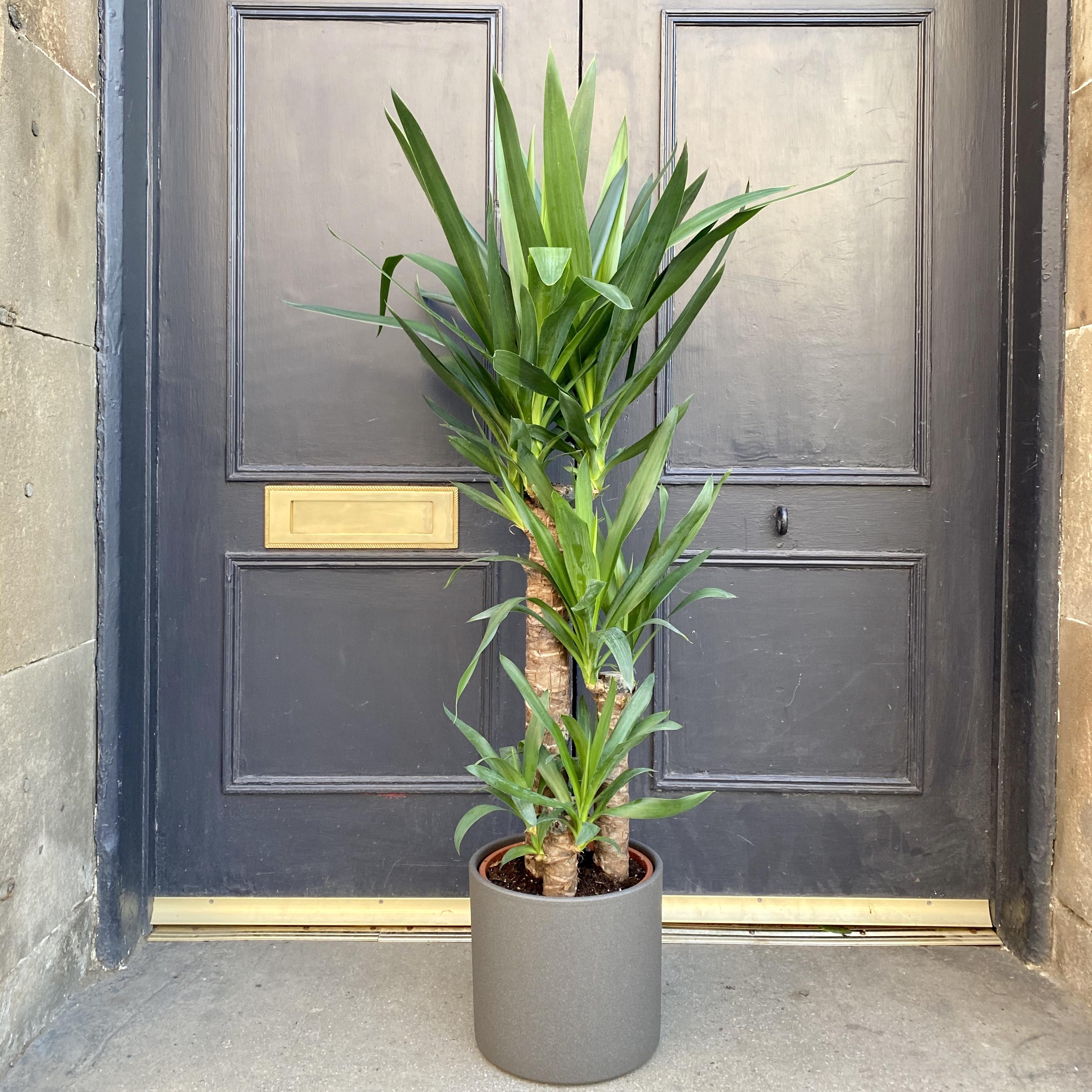 Yucca elephantipes (21cm pot)