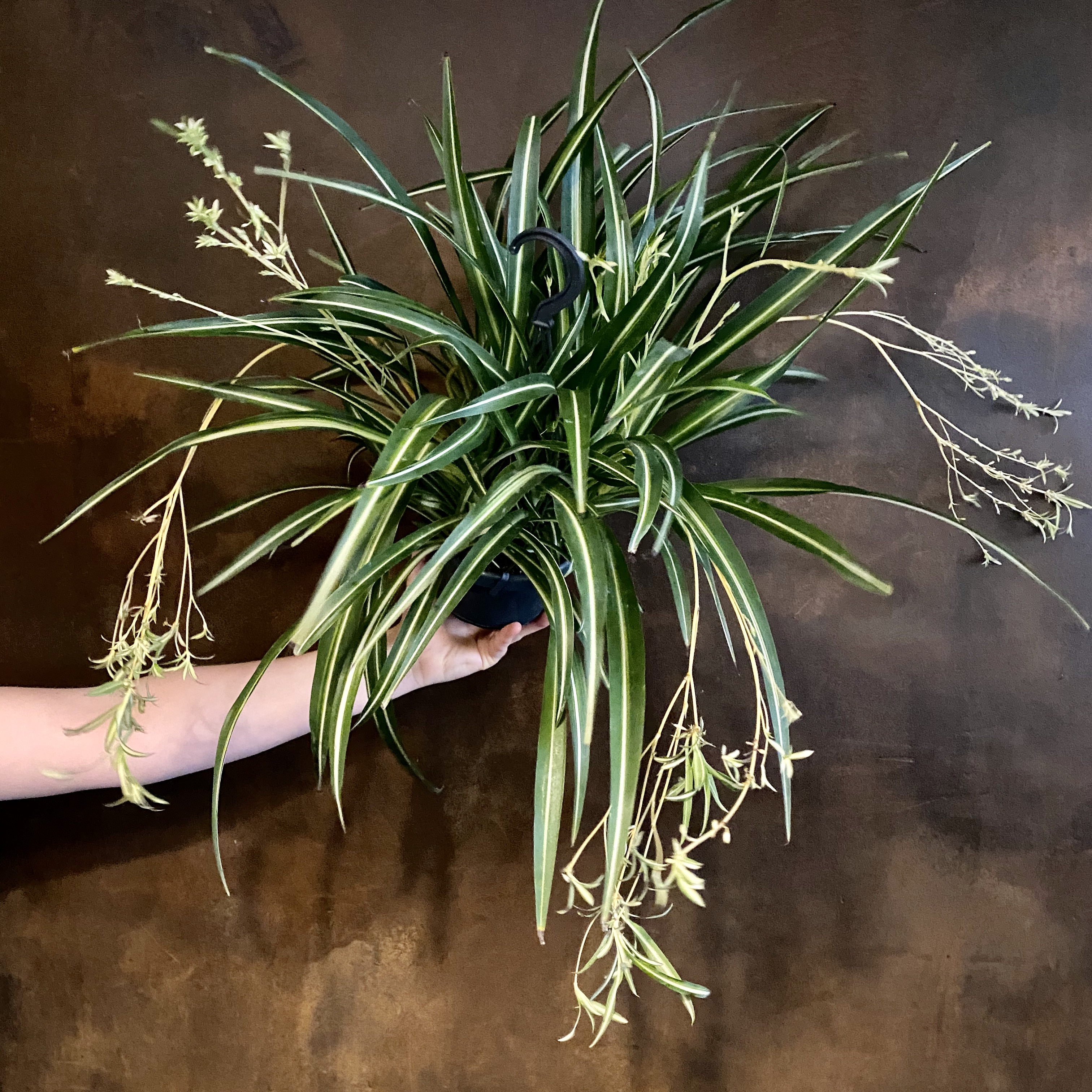 Chlorophytum 'Variegatum' (hangpot)