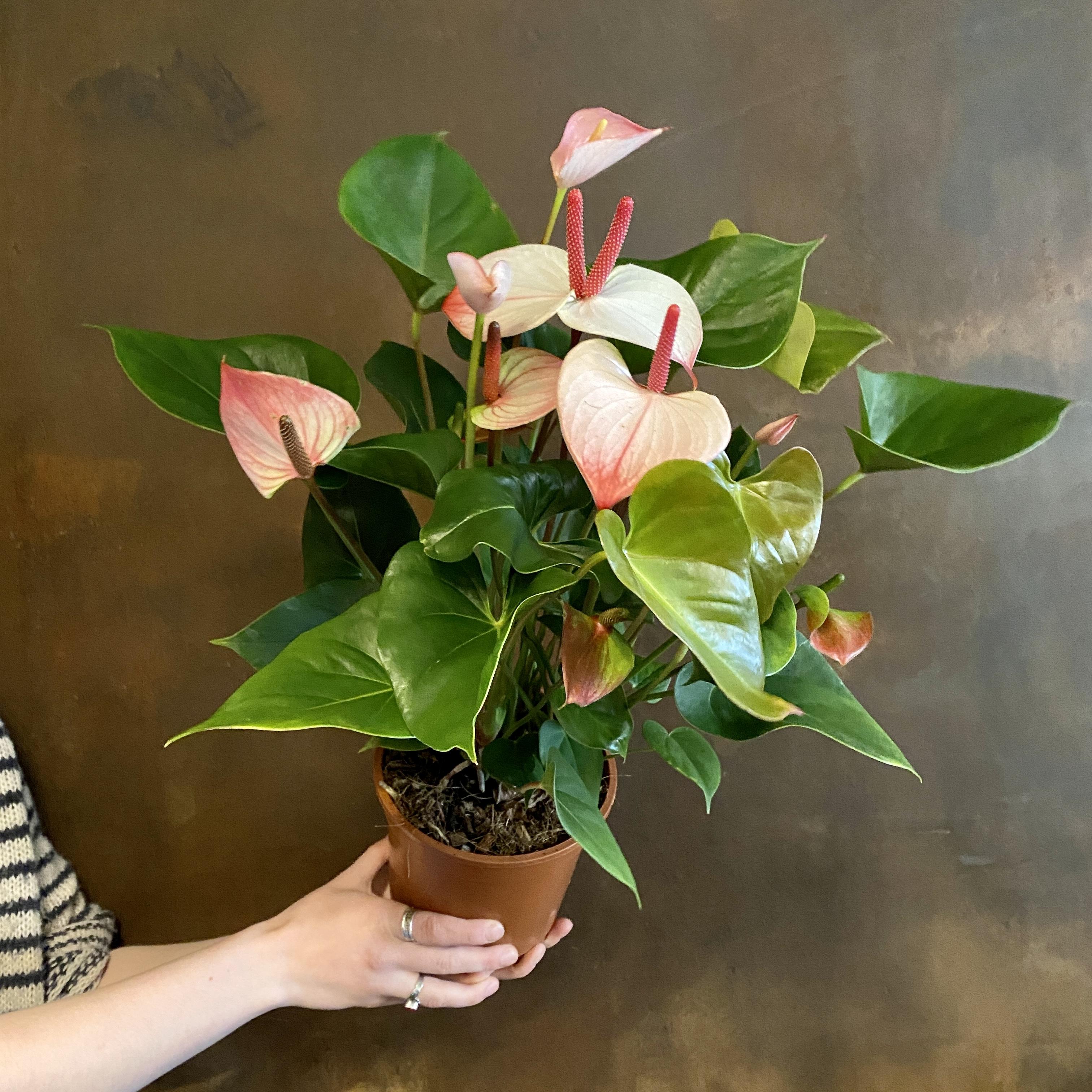 Anthurium 'Amalia Elegance' (17cm pot)