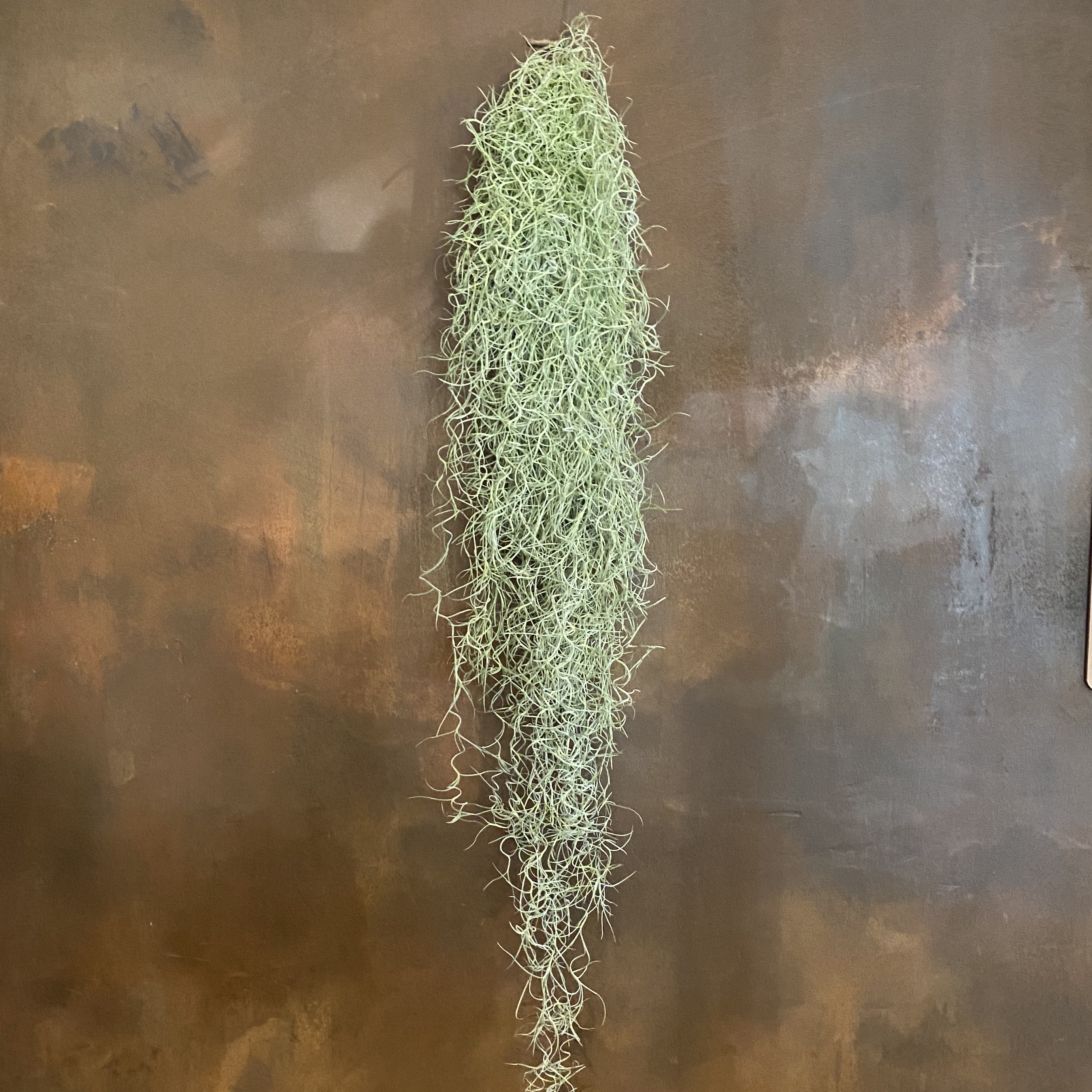 Tillandsia usnoides XL (Spanish Moss)
