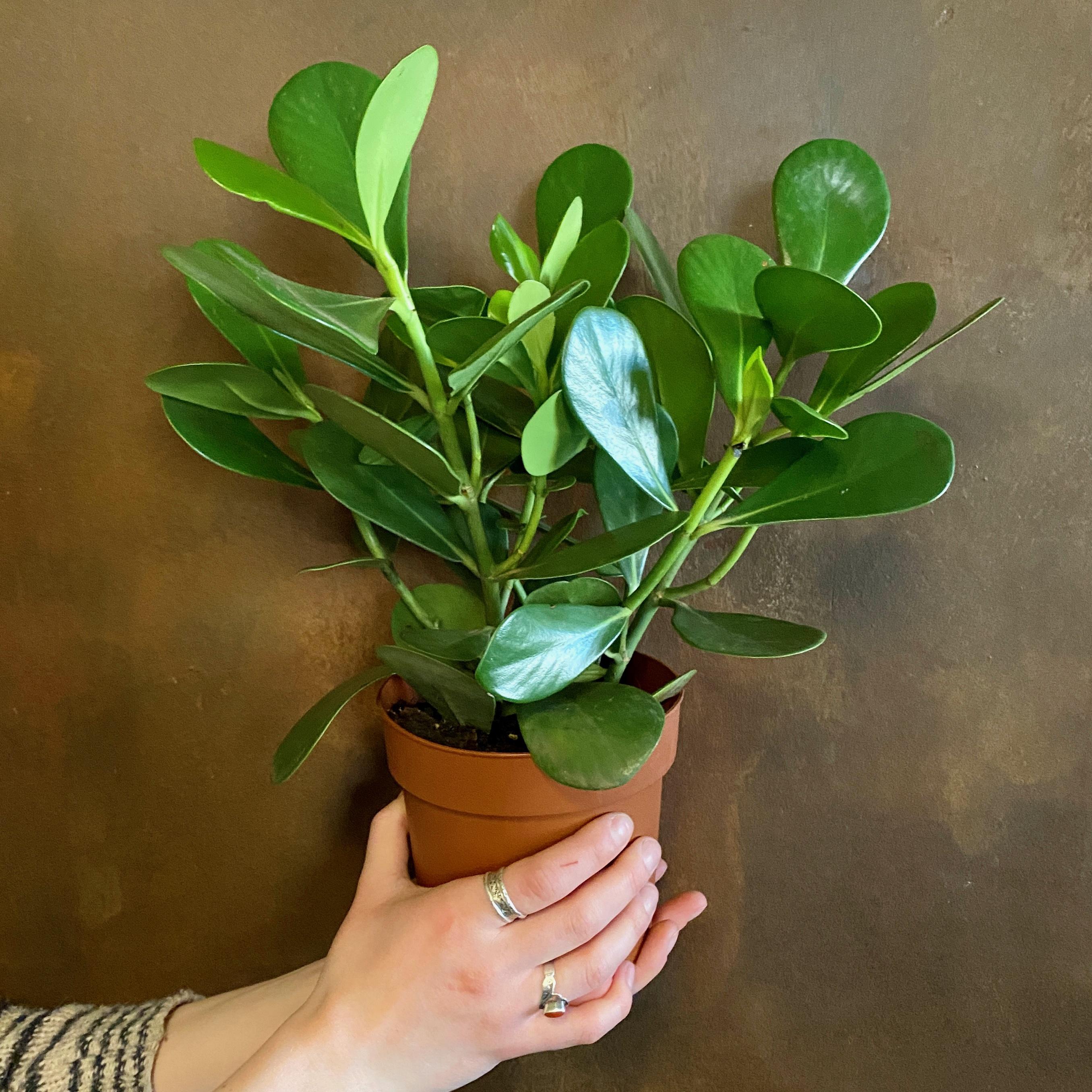 Clusia rosea (14cm Pot)