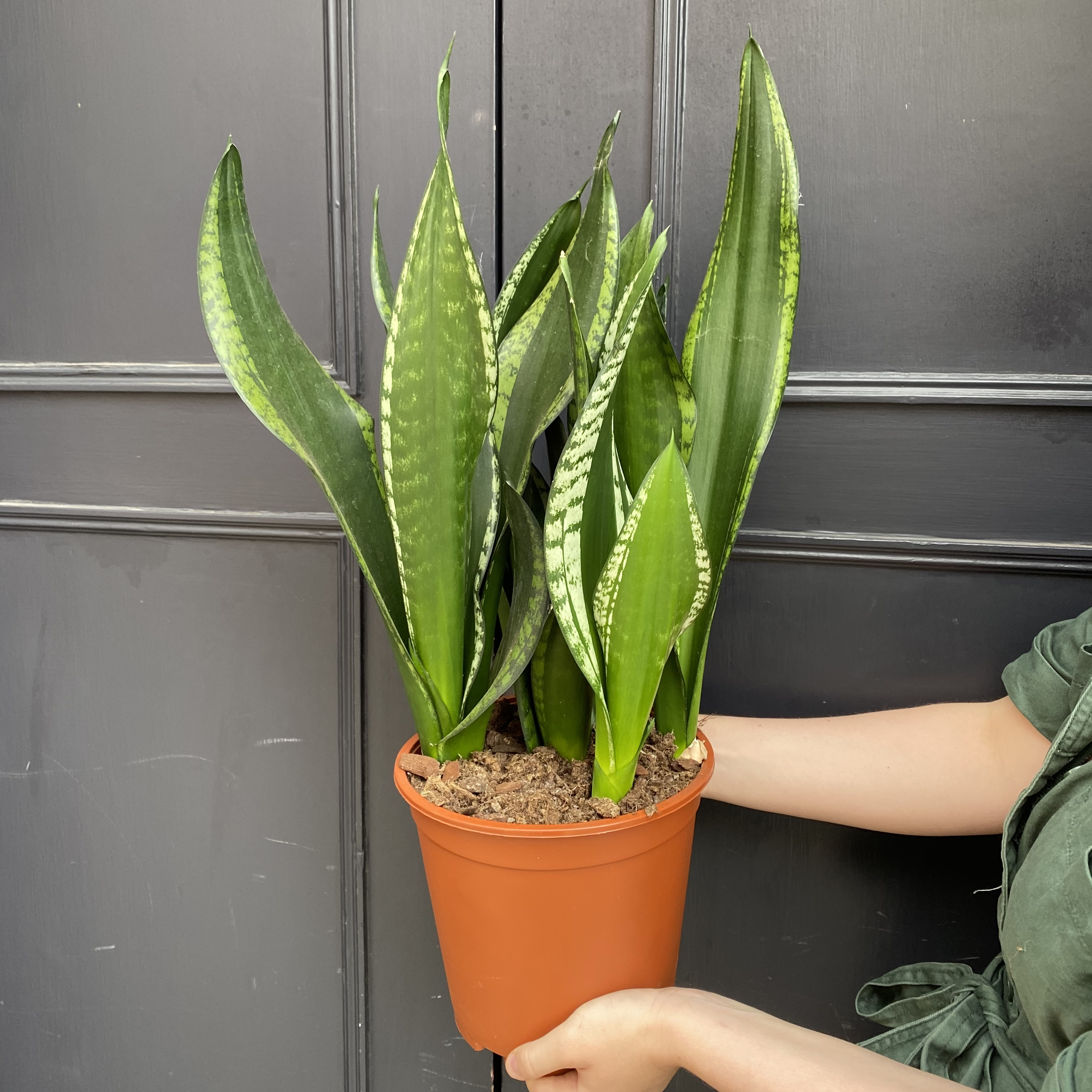 Sansevieria 'Silver Flame' (21cm pot)