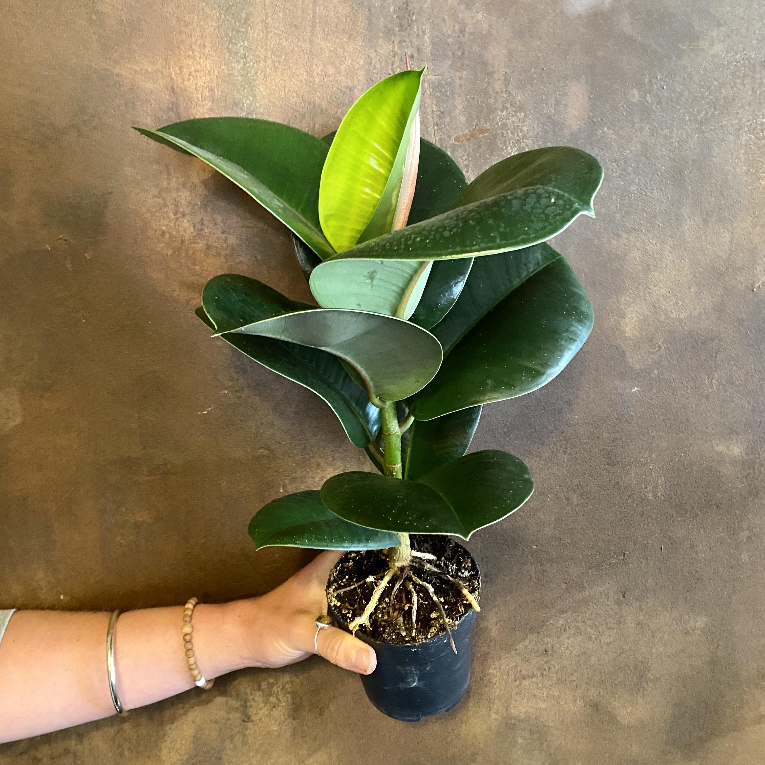 Ficus elastica 'Sofia'