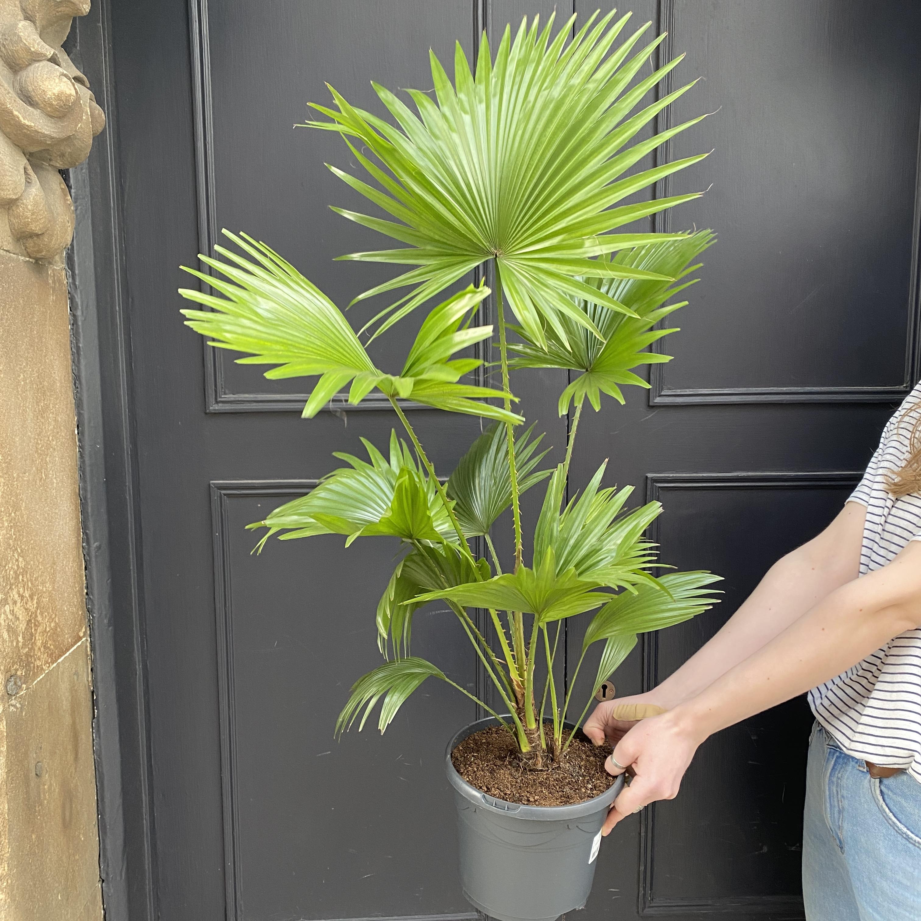 Livistona rotundifolia (21cm pot)