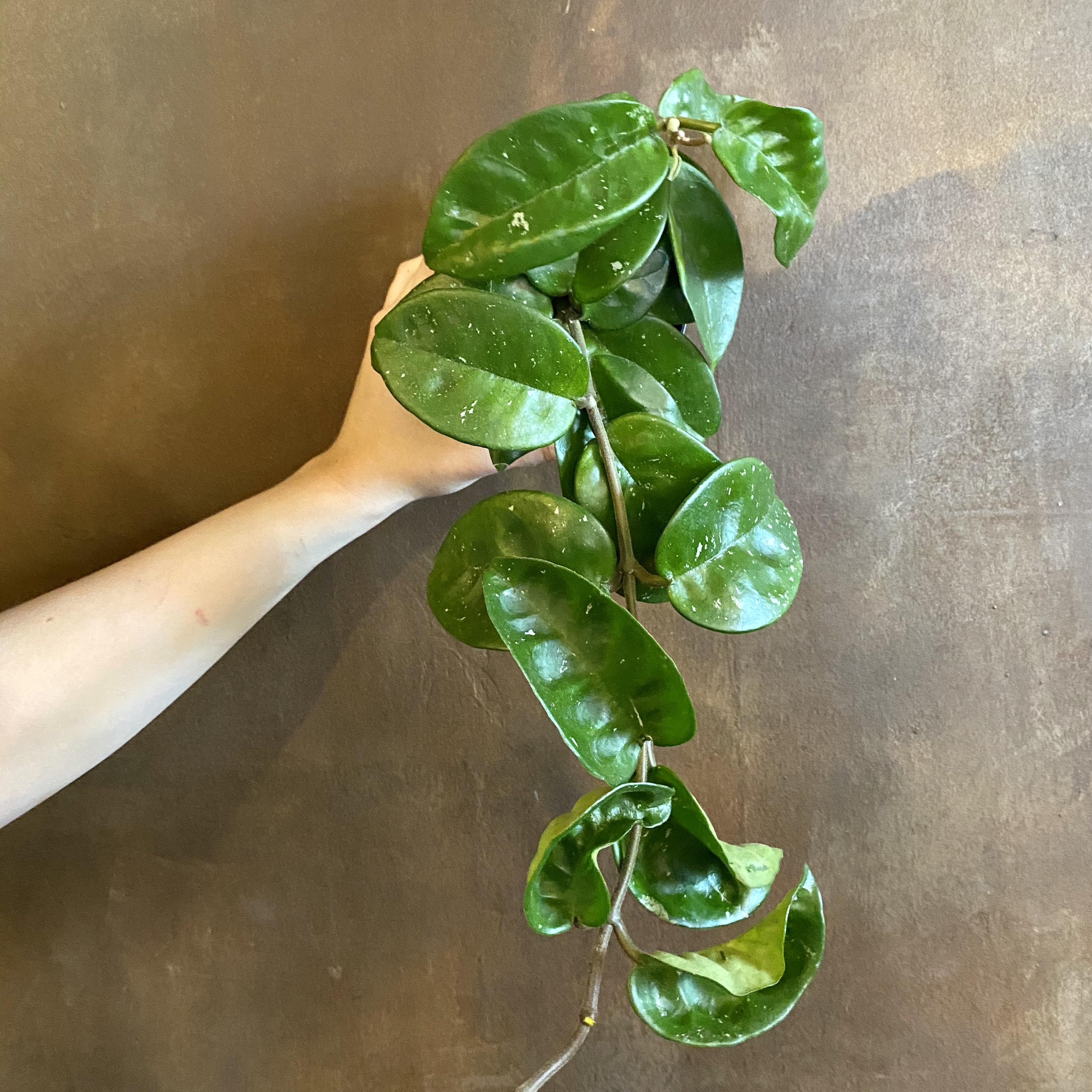 Hoya 'Krinkle 8'