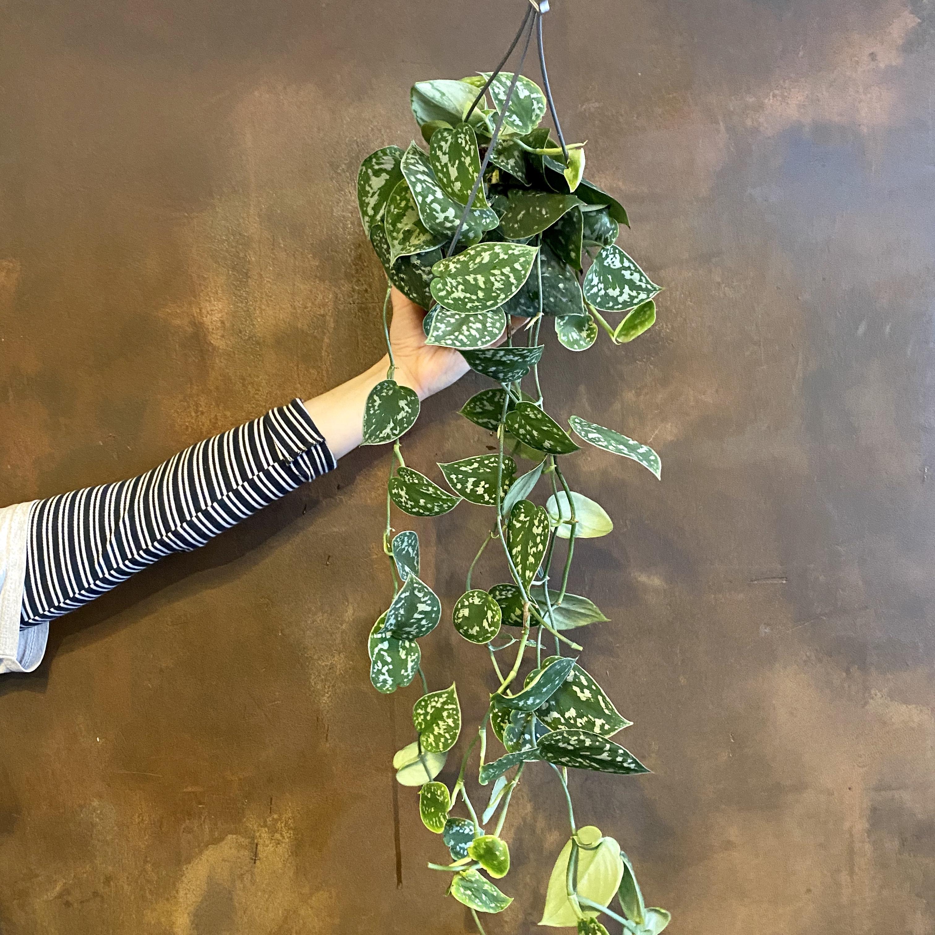 Scindapsus pictus (hanging)