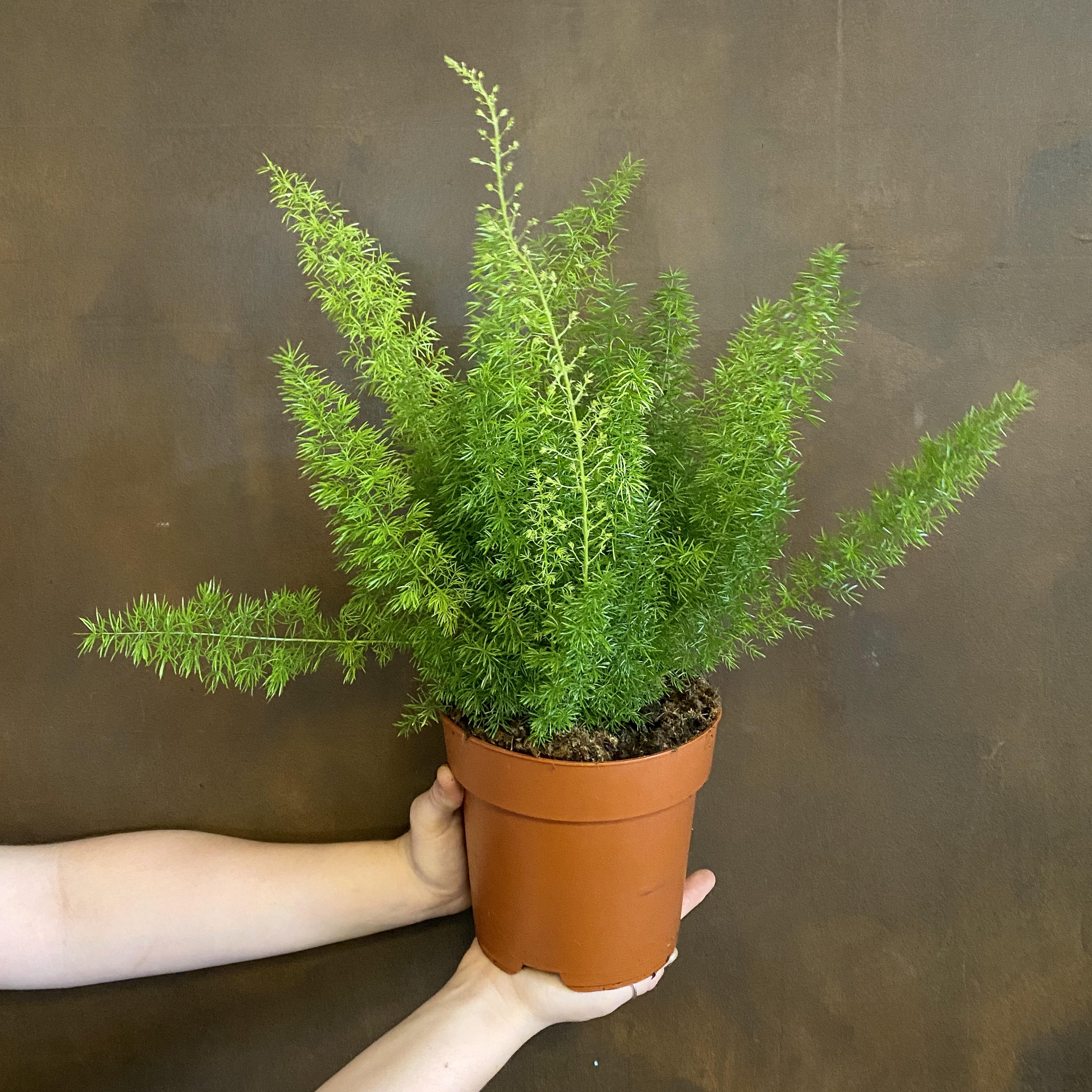 Asparagus densiflorus 'Myers' (17cm pot)