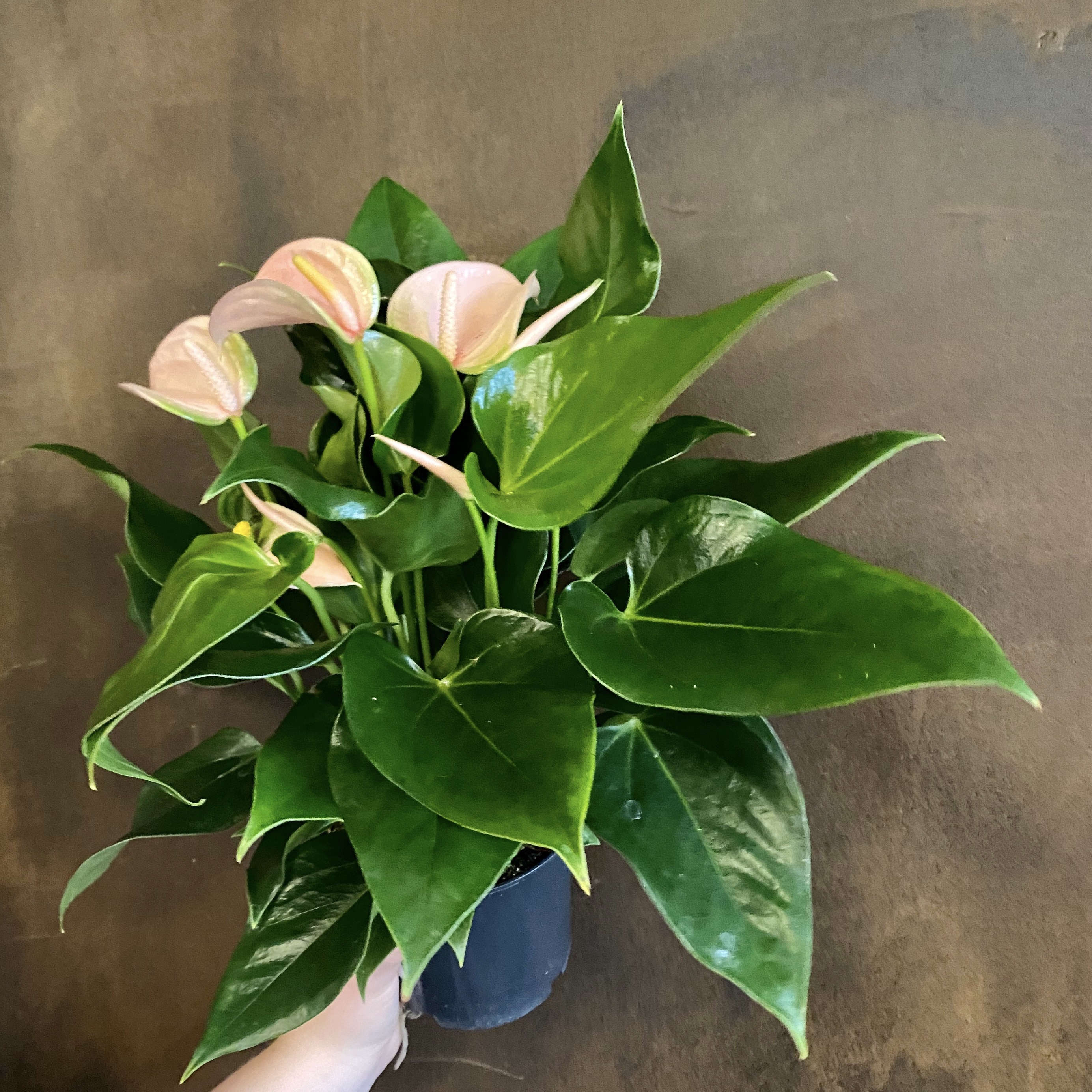 Anthurium 'Joli Peach'