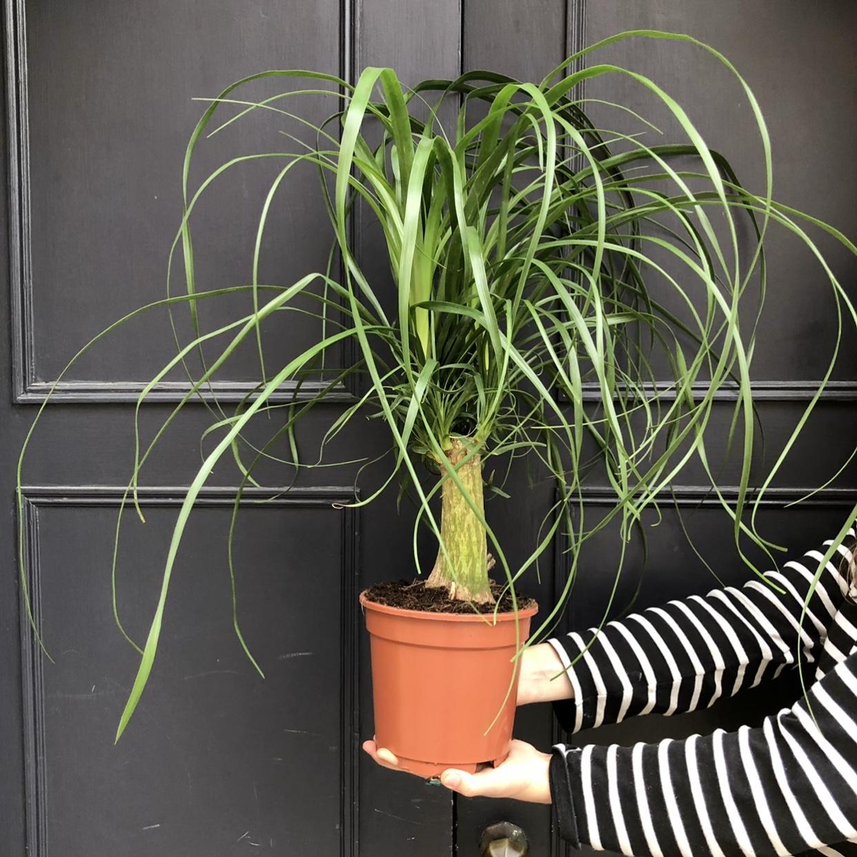 Beaucarnea recurvata (17cm pot)