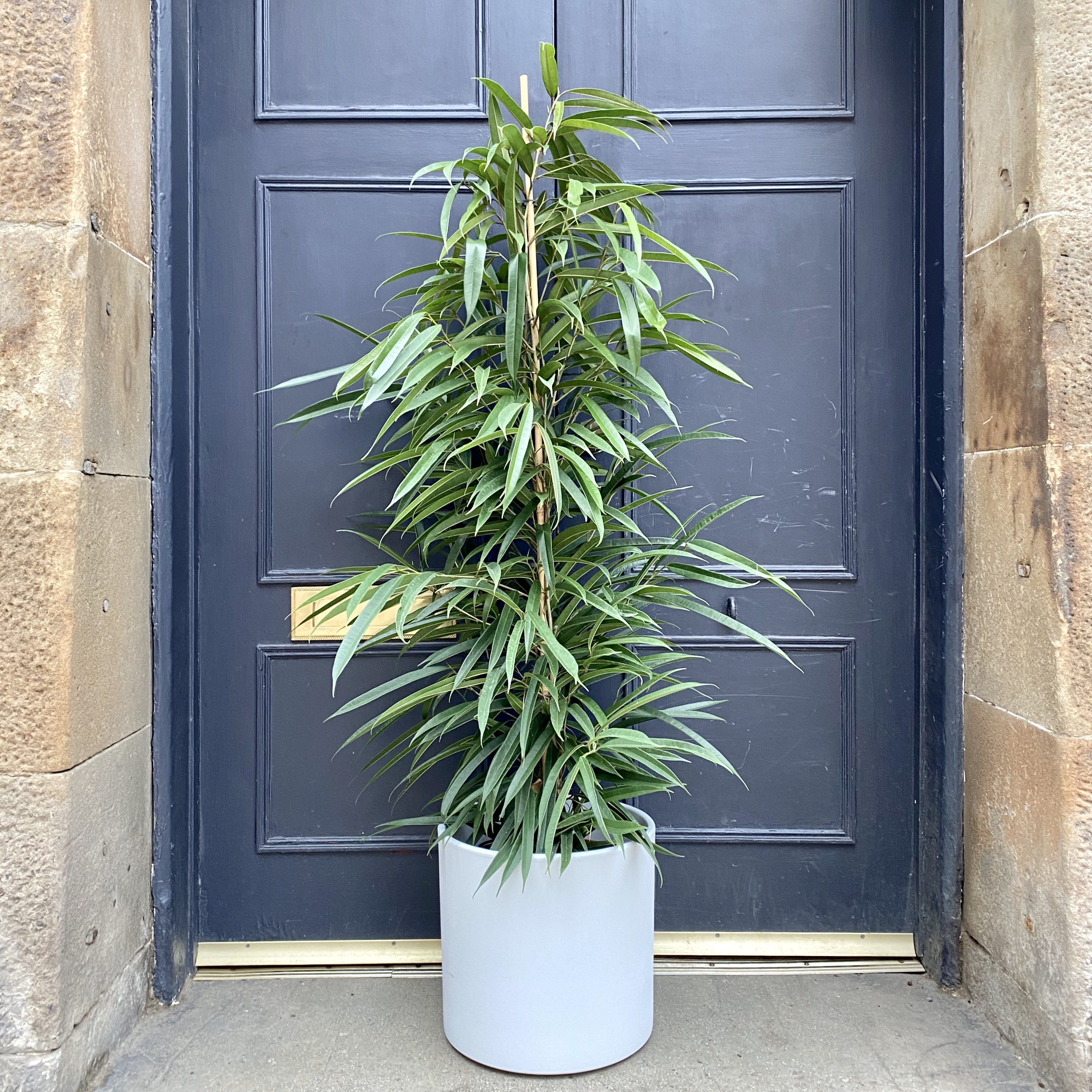 Ficus 'Alii' (27cm pot)