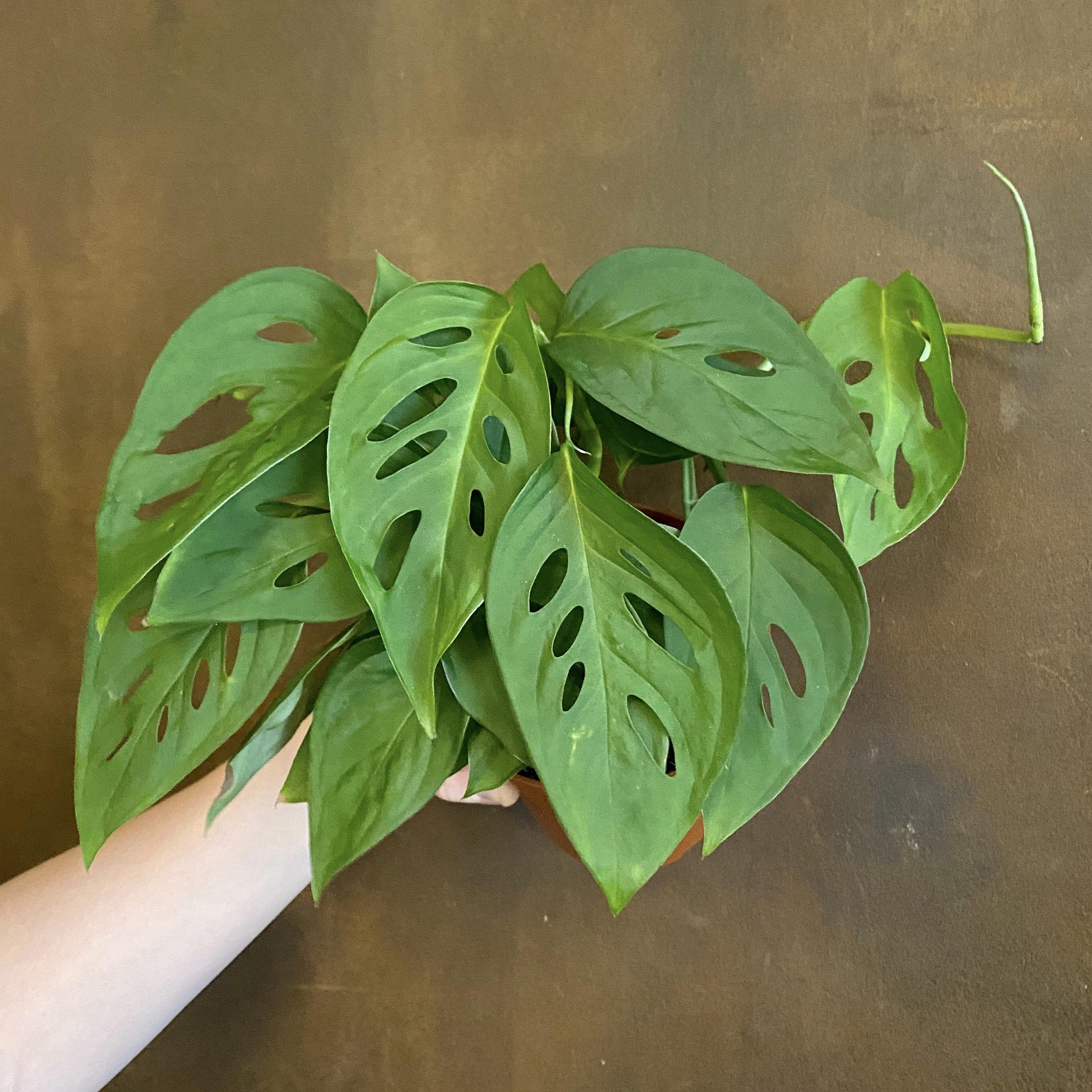 Monstera adansonii (12cm pot)