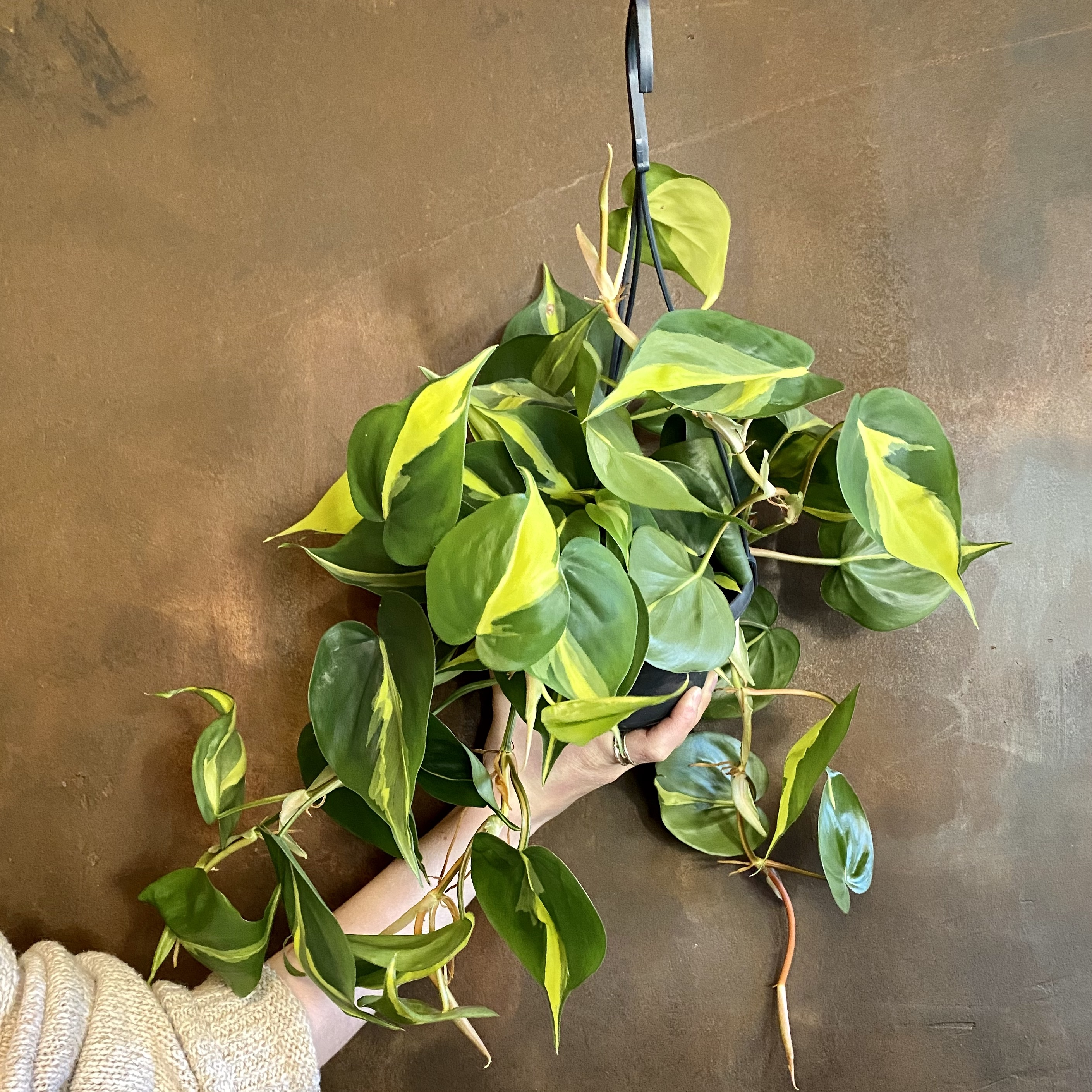 Philodendron 'Brasil' (15cm hangpot)