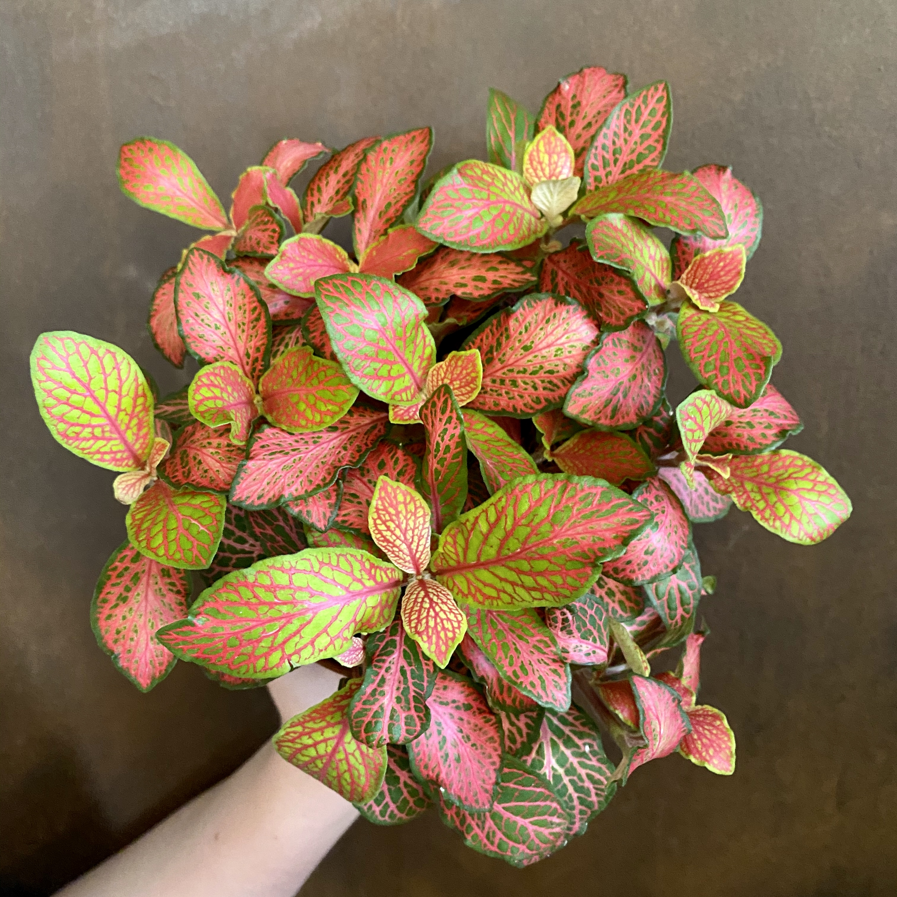 Fittonia 'Ruby Lime'