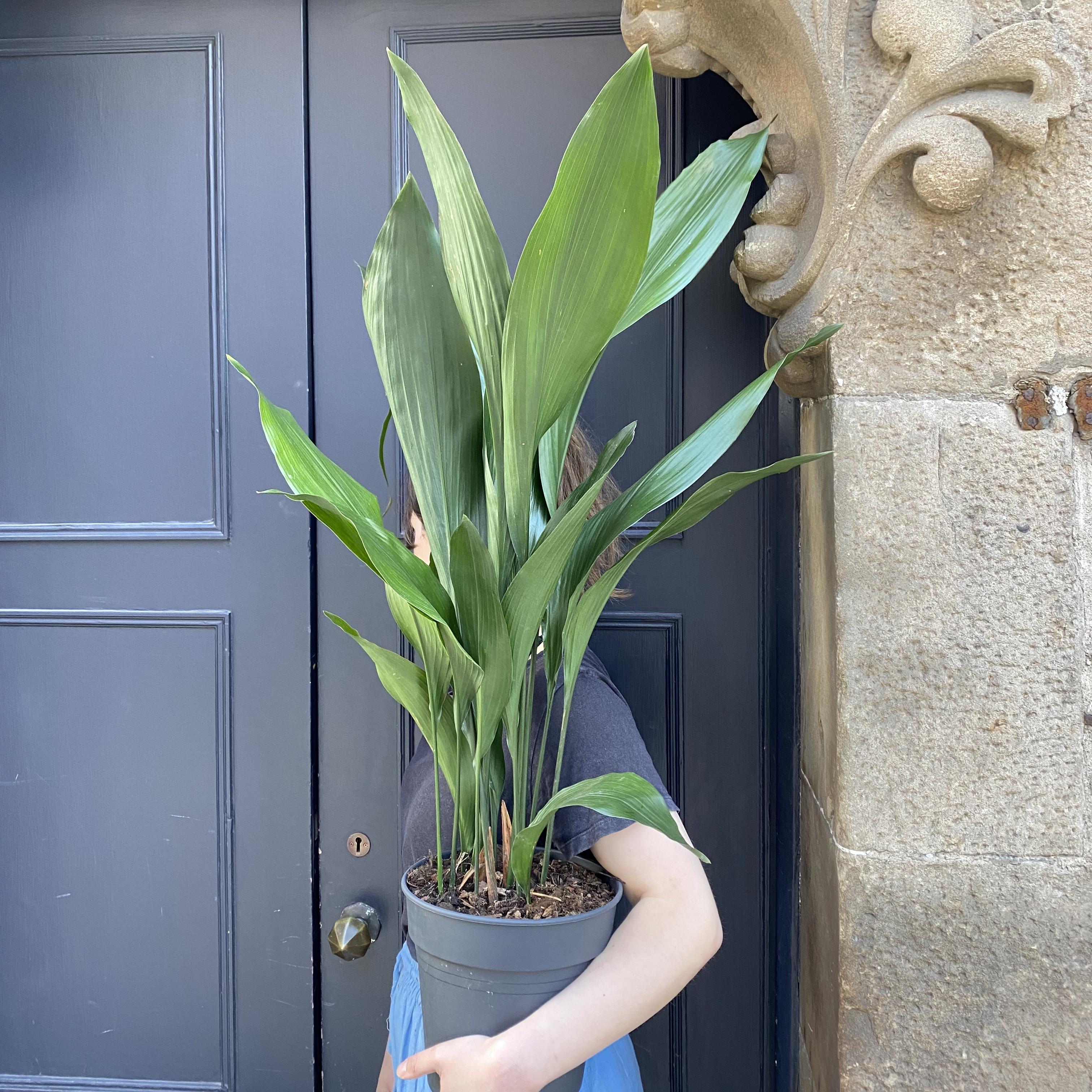 Aspidistra elatior (90cm)