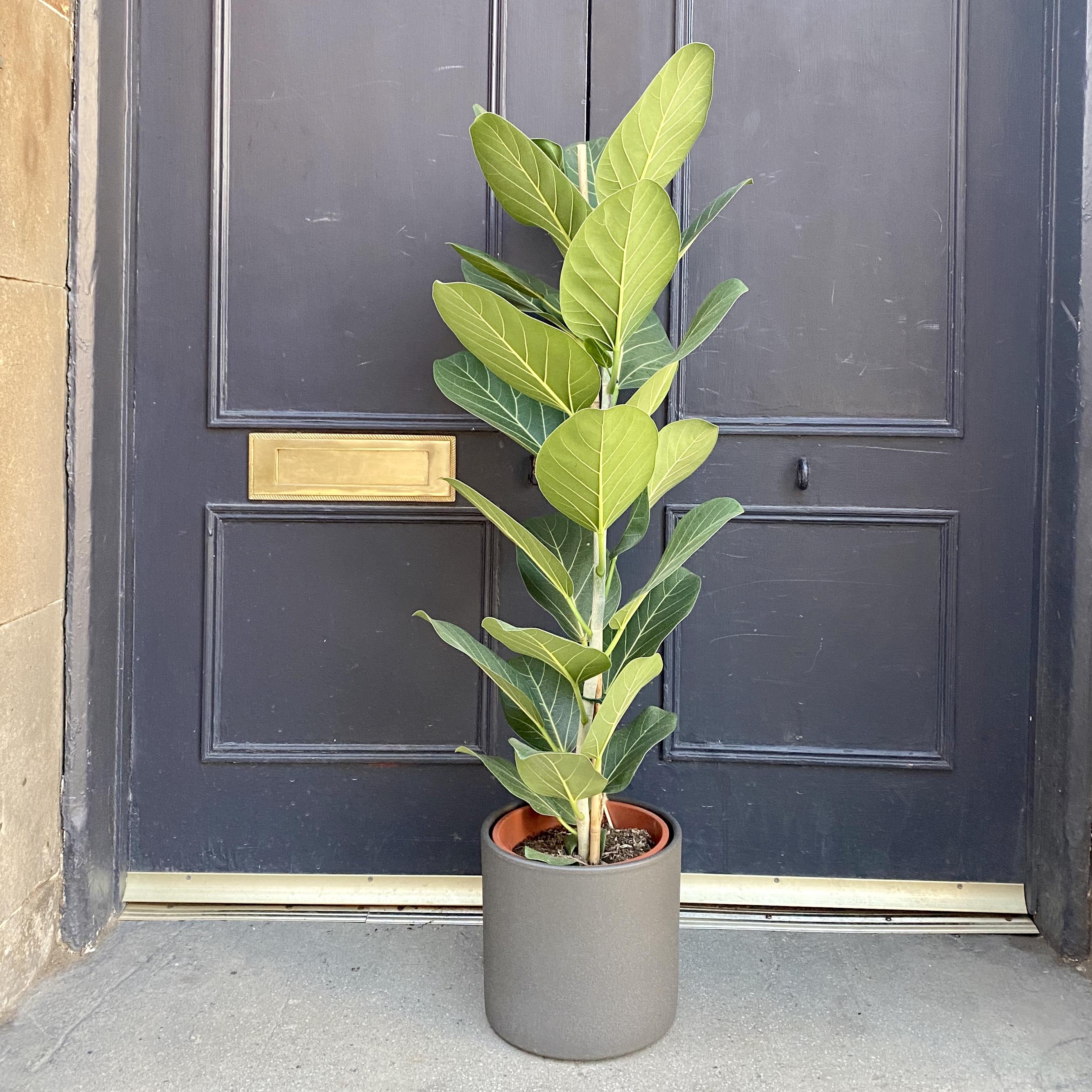 Ficus benghalensis 'Audrey' (21cm pot`)