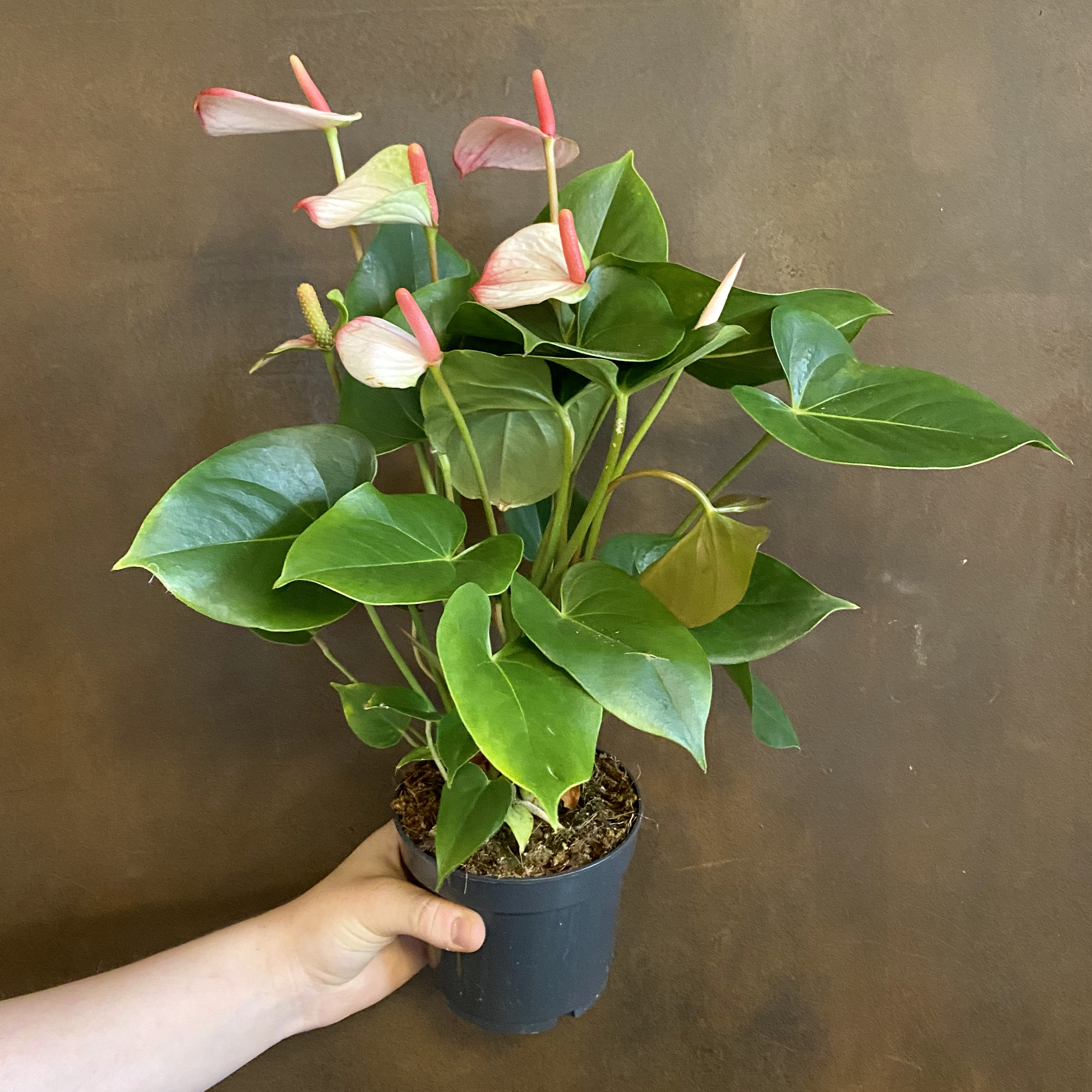 Anthurium 'Hotlips' (12cm pot)
