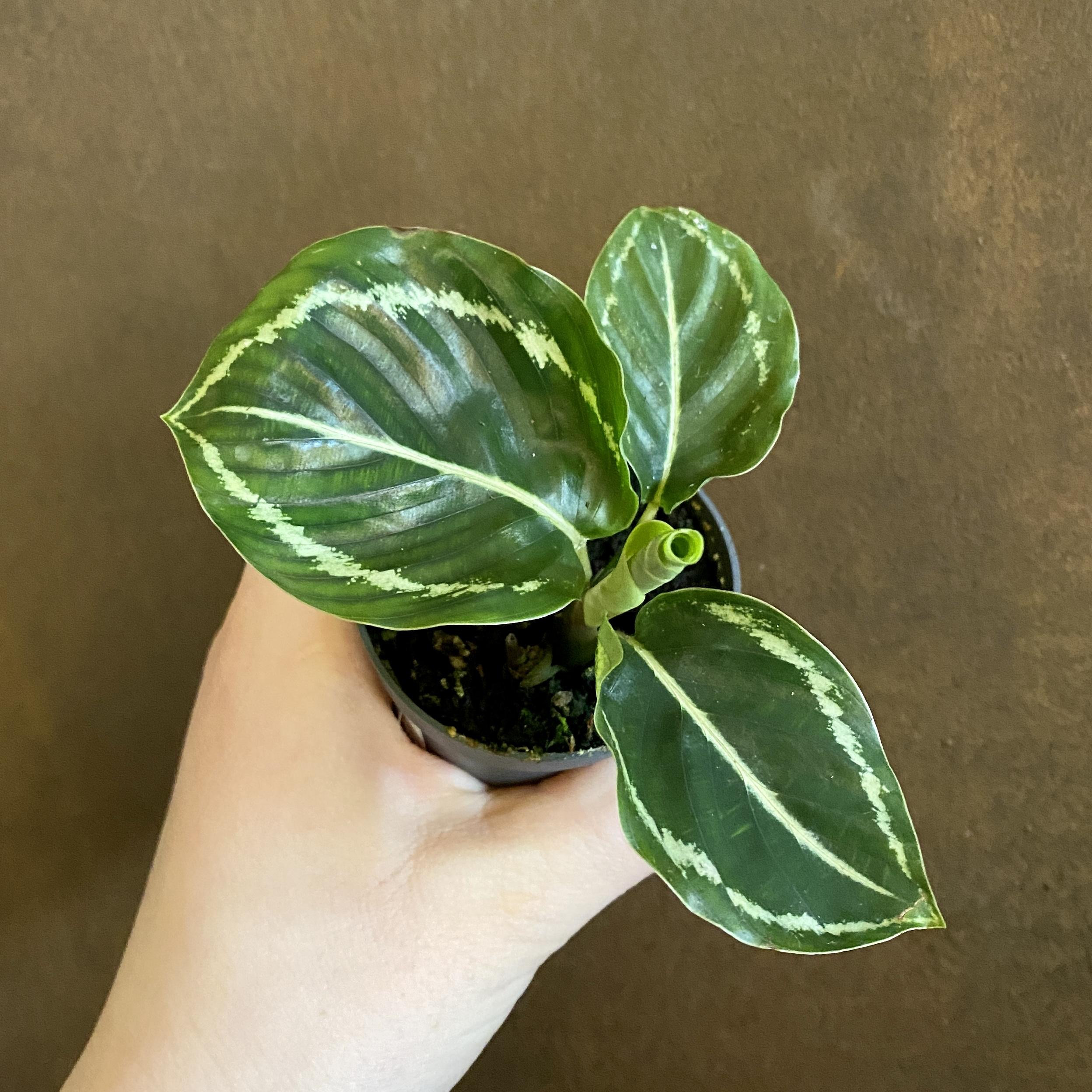 Calathea roseopicta 'Green'