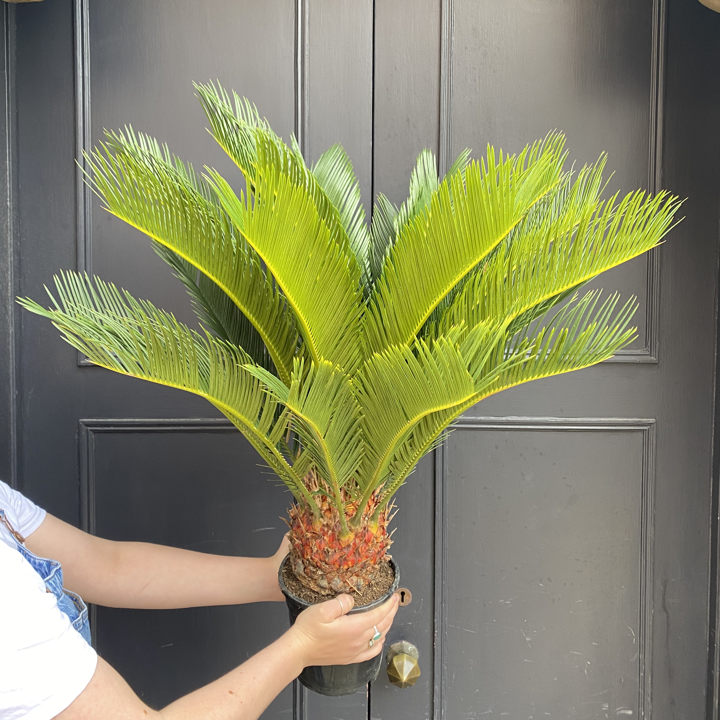 Cycas revoluta (17cm pot)
