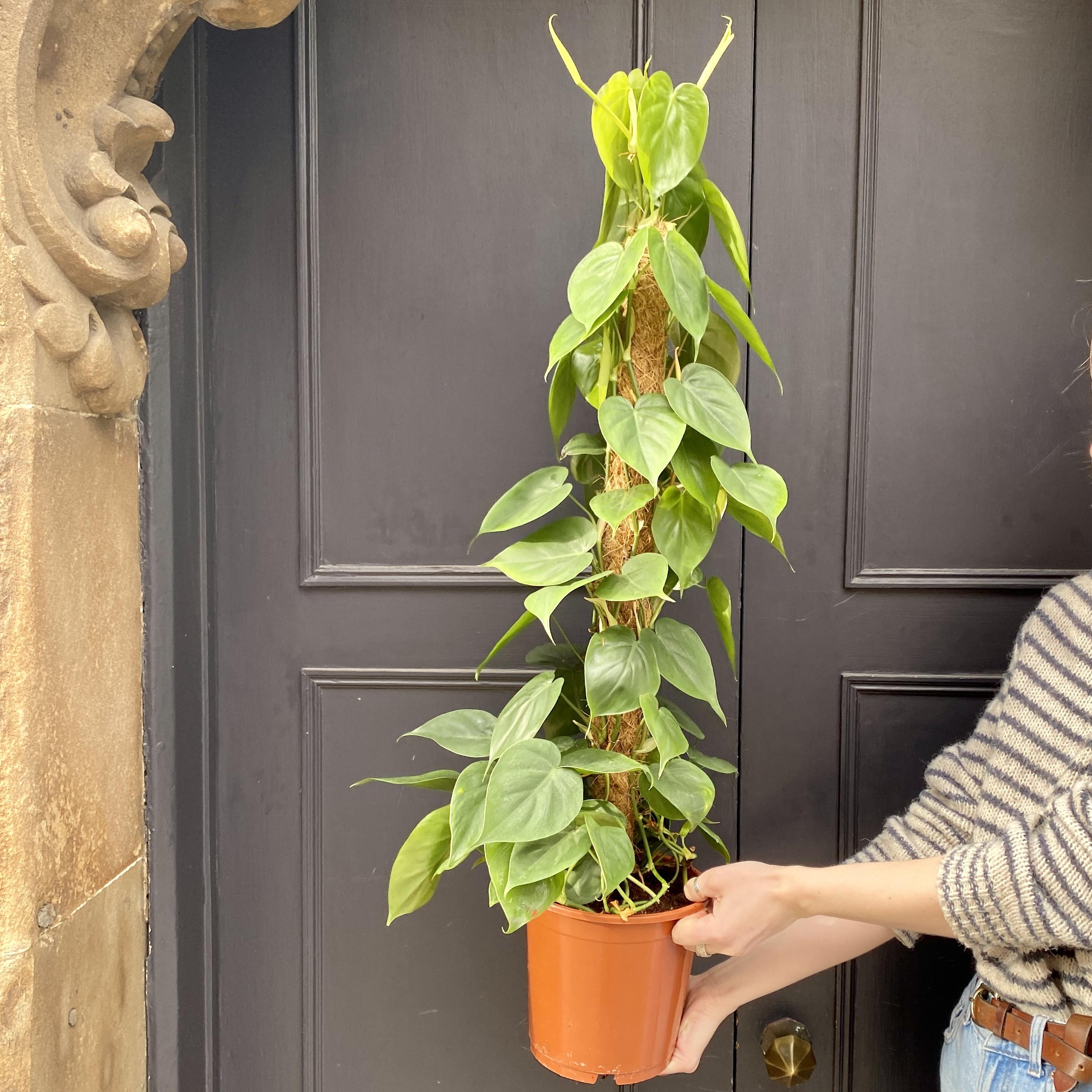 Philodendron scandens (19cm pot)