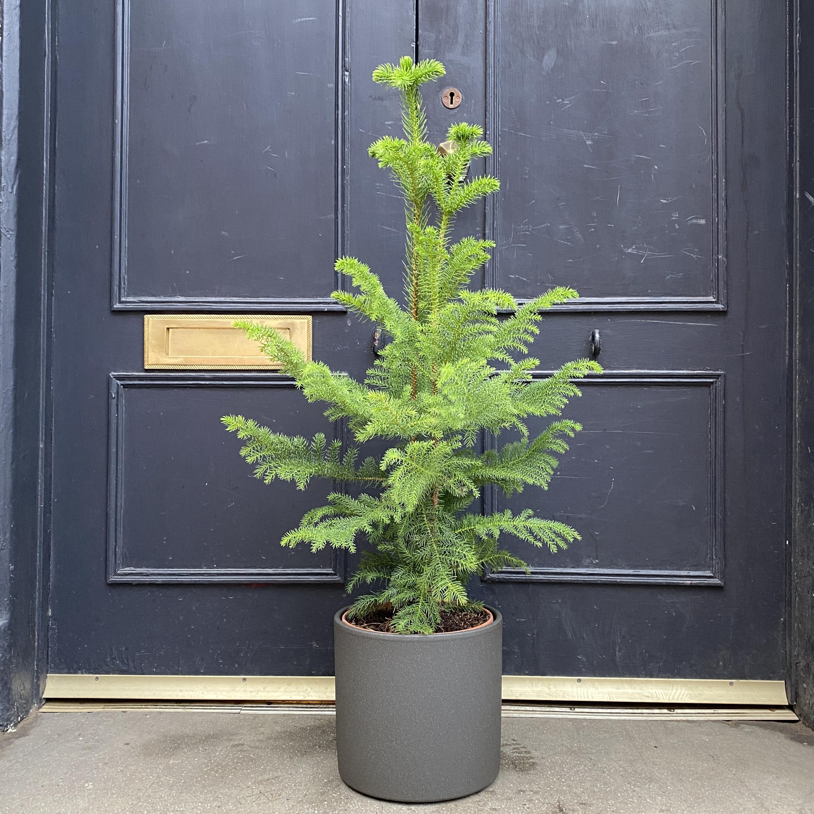 Araucaria heterophylla (21cm pot)