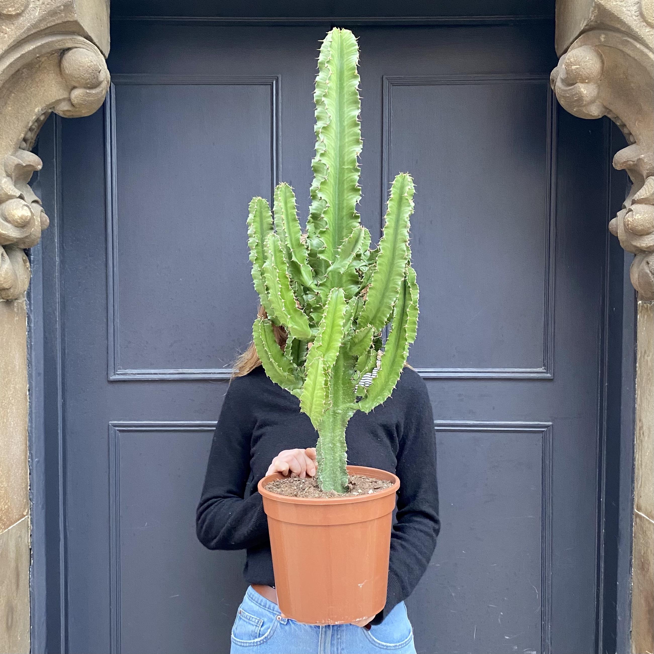 Euphorbia eritrea (24cm pot)