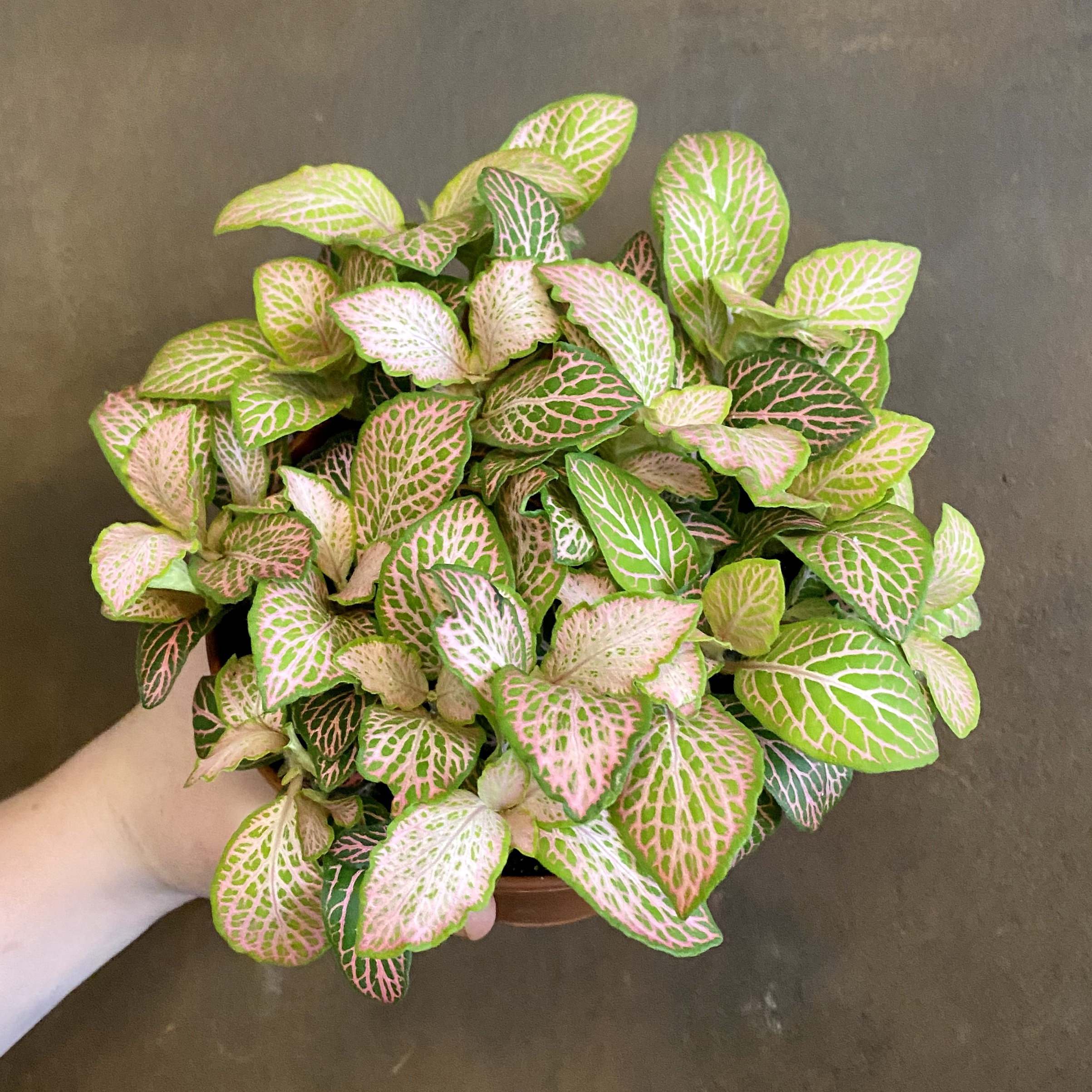 Fittonia 'Pink Ruby Lime'