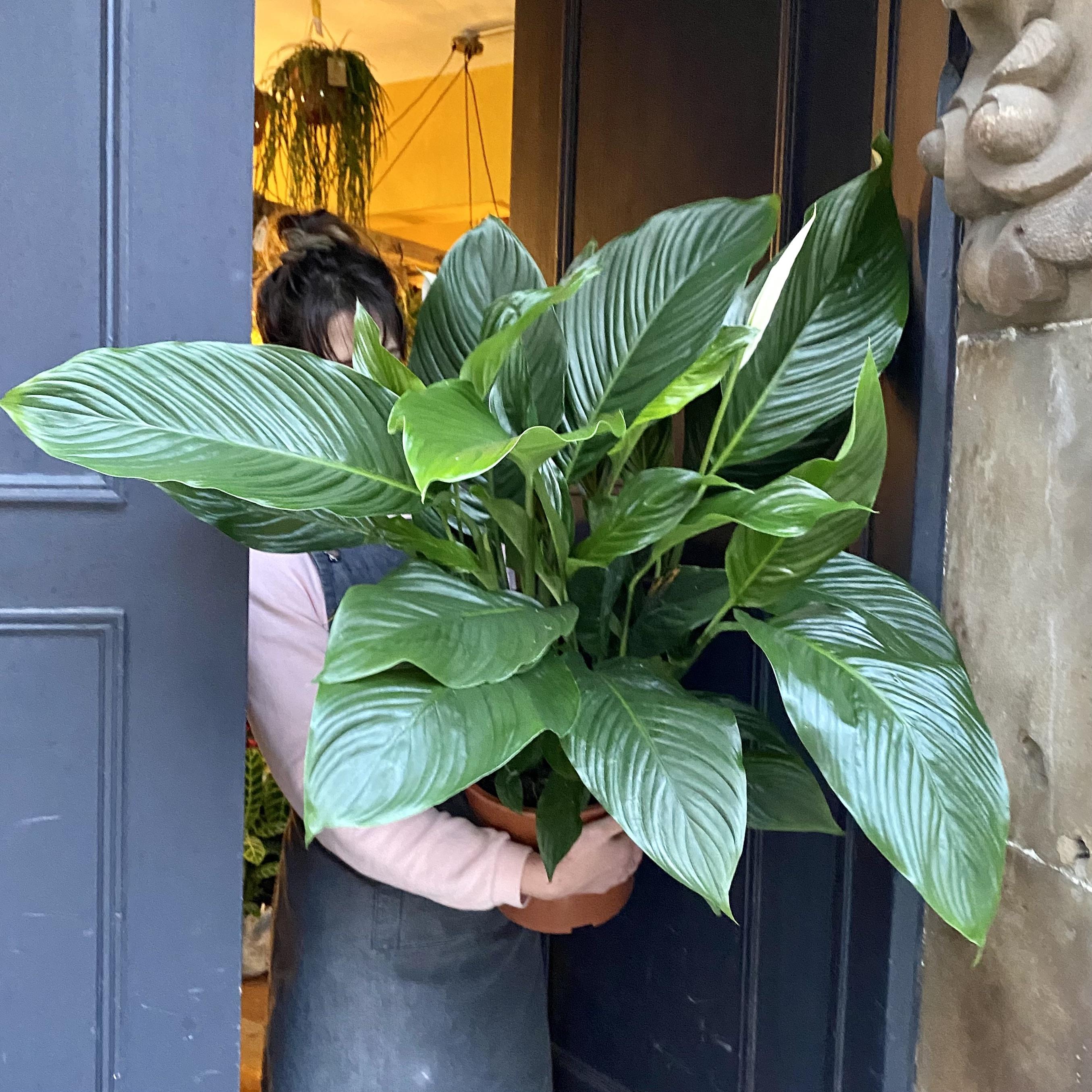 Spathiphyllum 'Sweet Lauretta' (24cm pot)