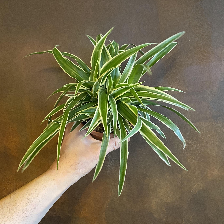 Chlorophytum 'Ocean' (12cm pot)