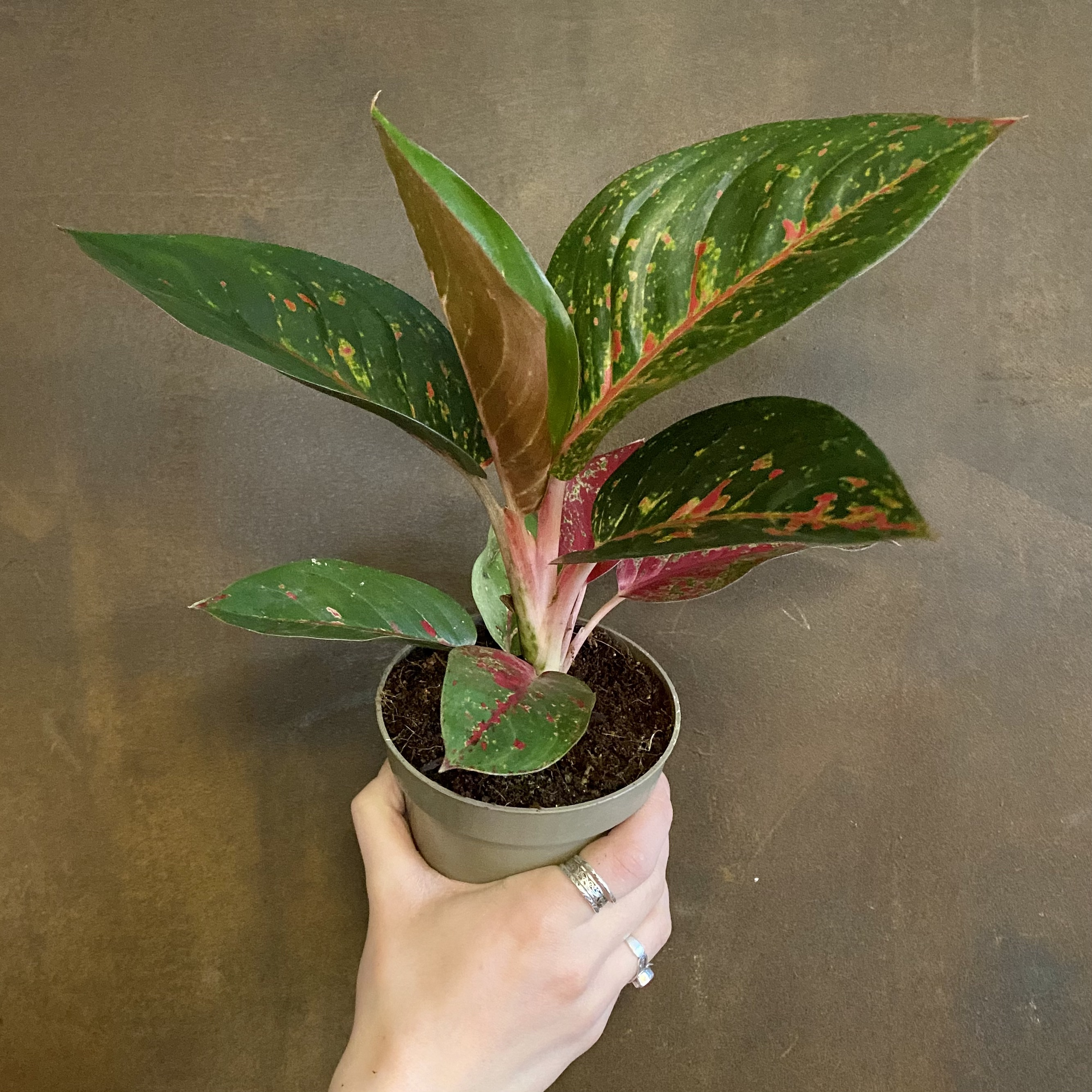 Aglaonema 'Dark Pink Star'