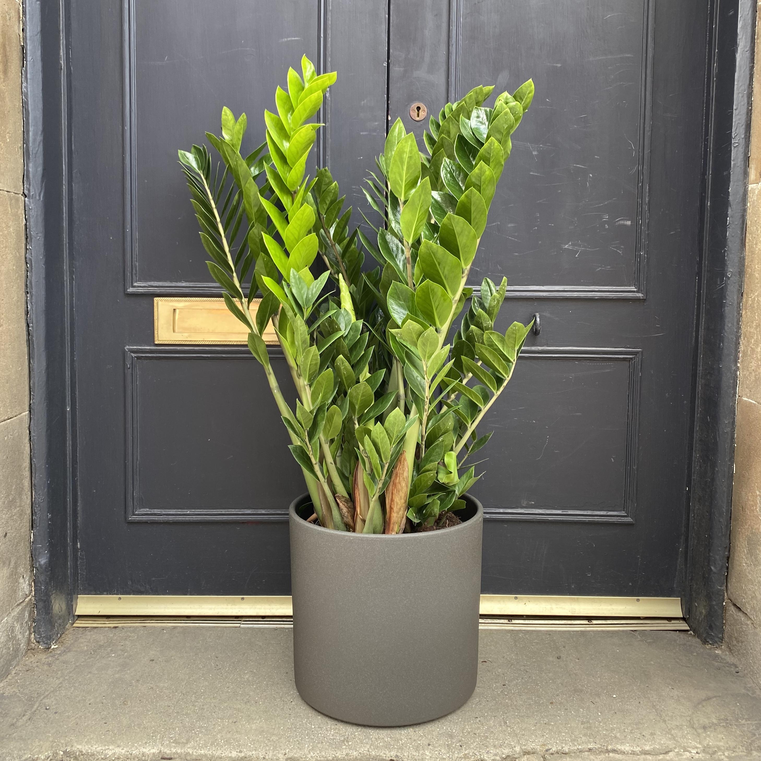 Zamioculcas zamifolia (27cm pot)