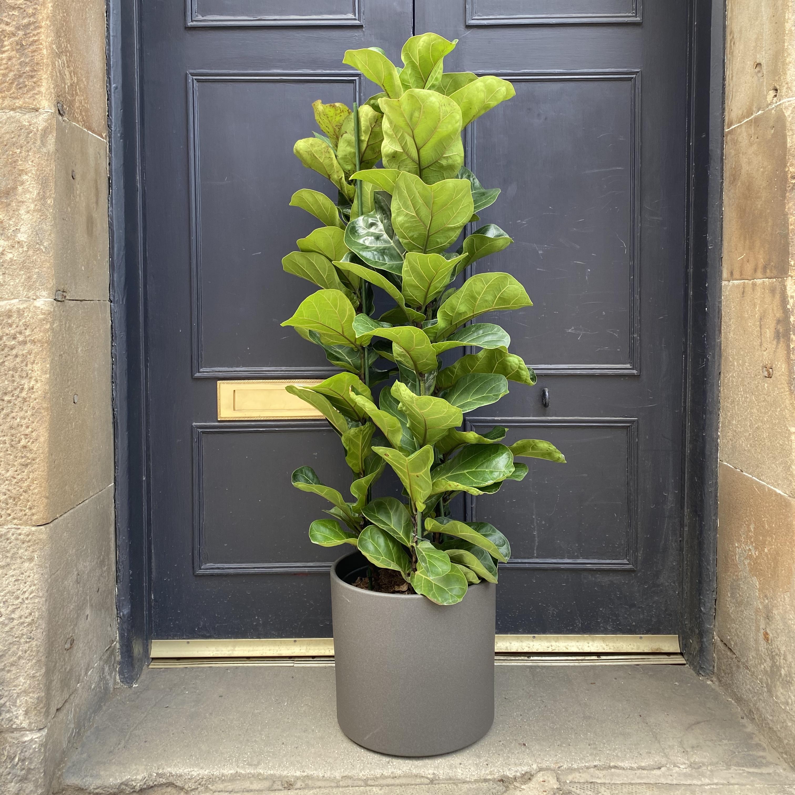Ficus lyrata (110cm)