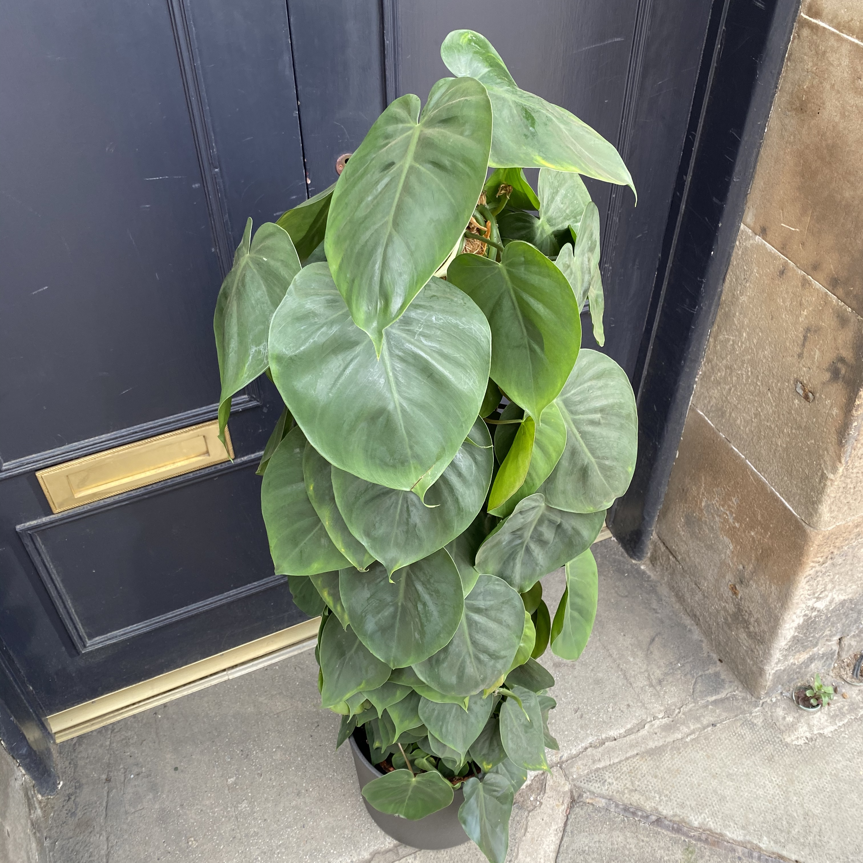Philodendron scandens (120cm)