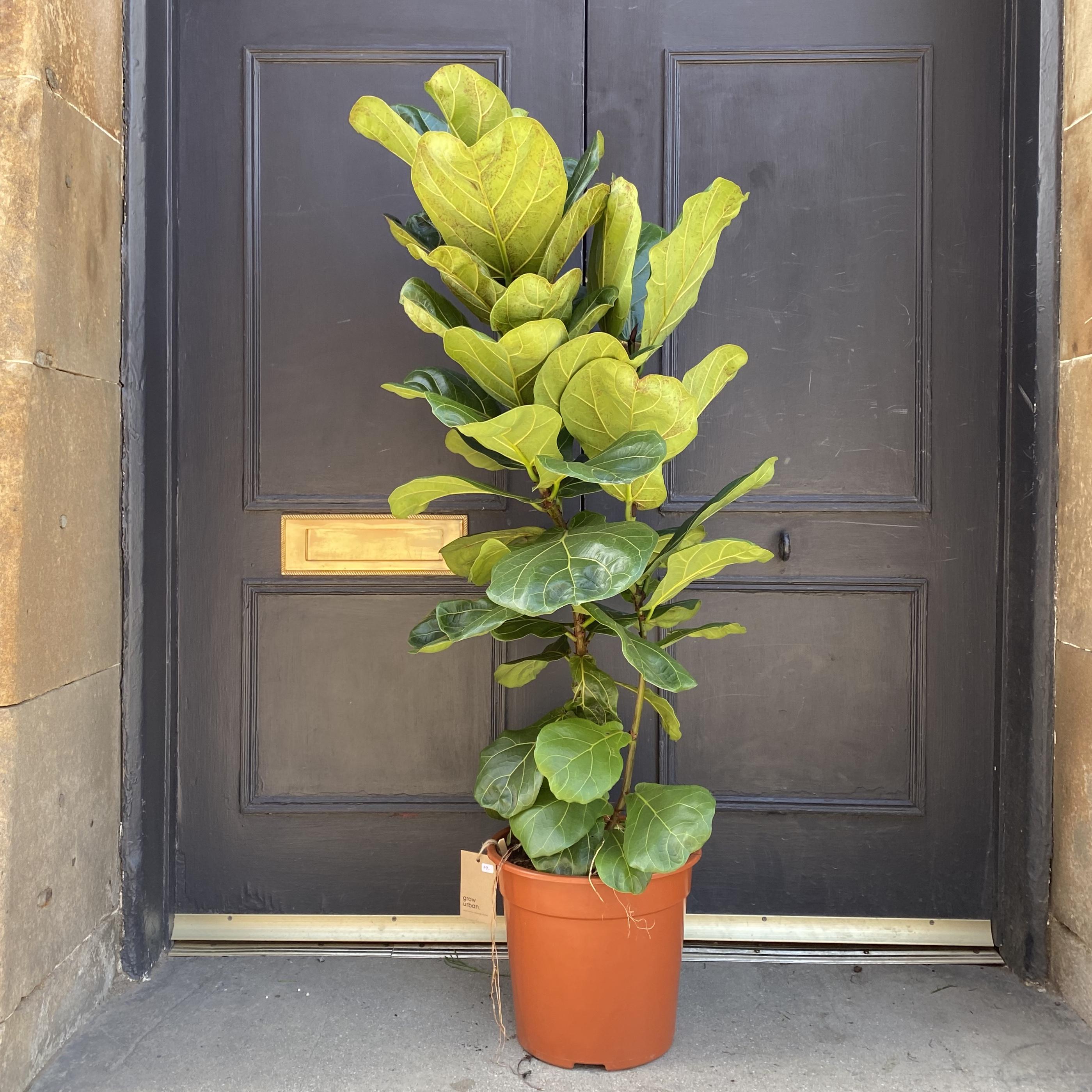 Ficus lyrata (120cm)