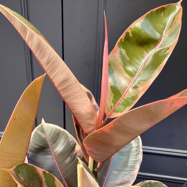 Ficus Elastica 'Belize' (24cm pot)