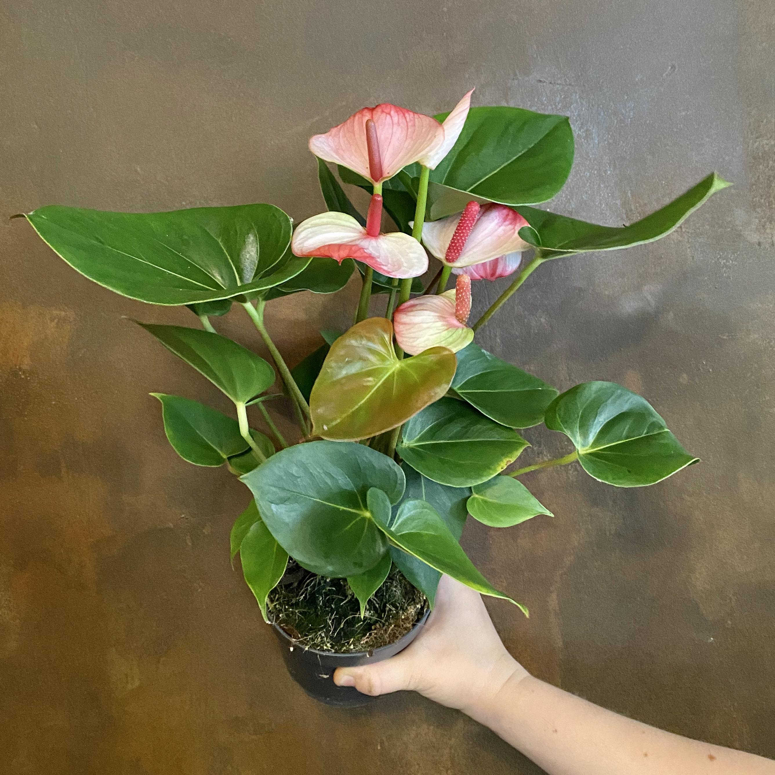 Anthurium 'Hotlips' (14cm pot)