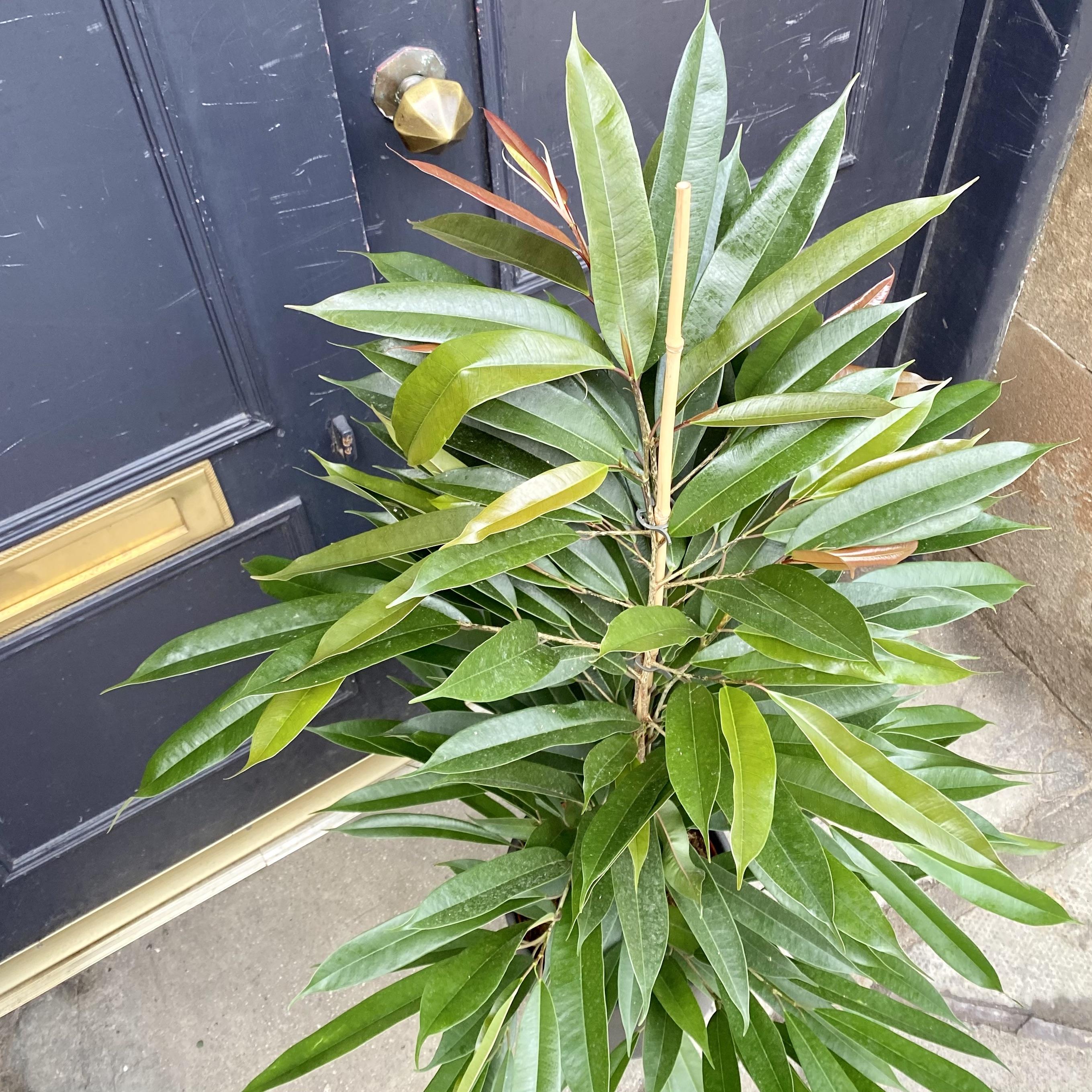 Ficus 'Amstel King' (21cm pot)