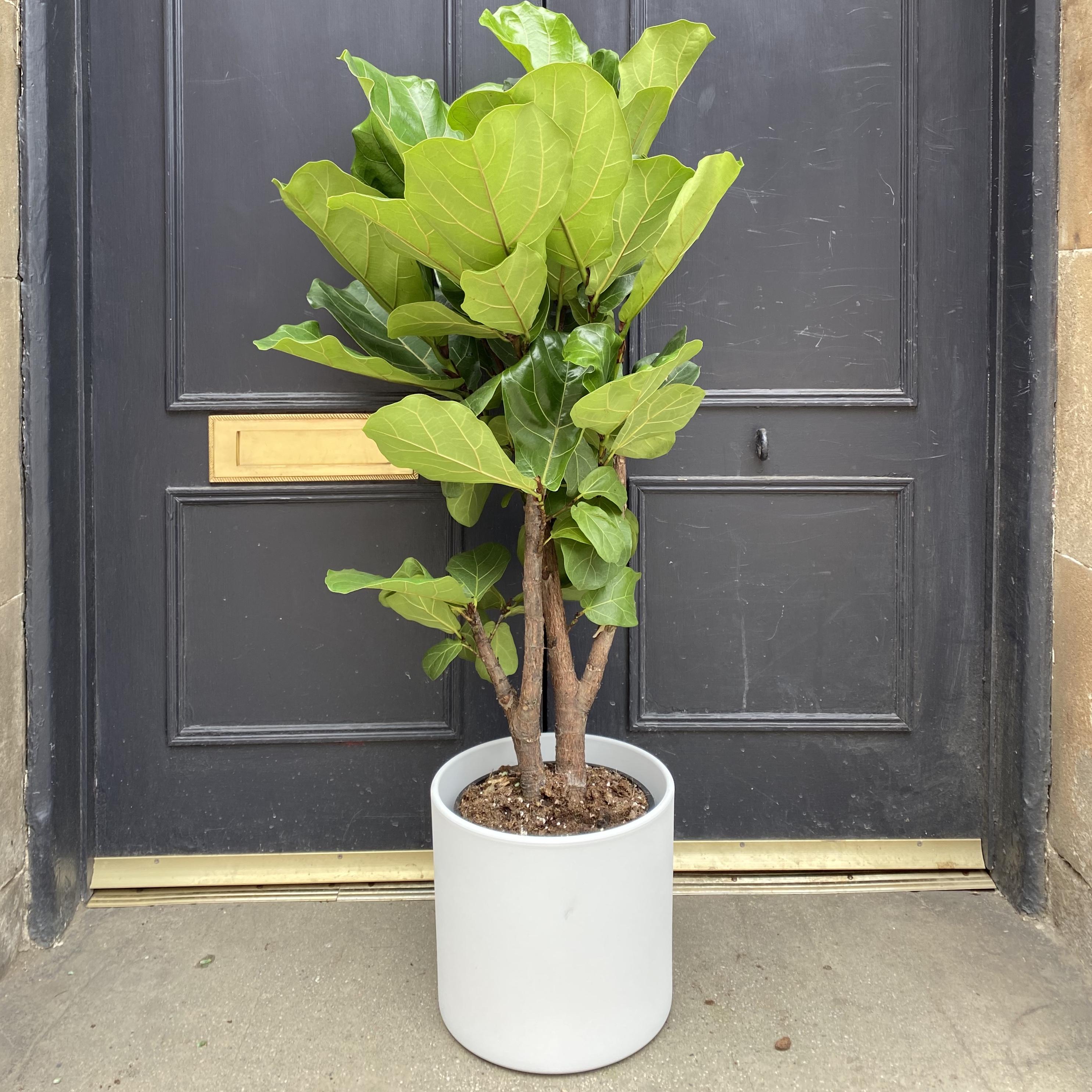 Ficus lyrata 'Bambino' (115cm)