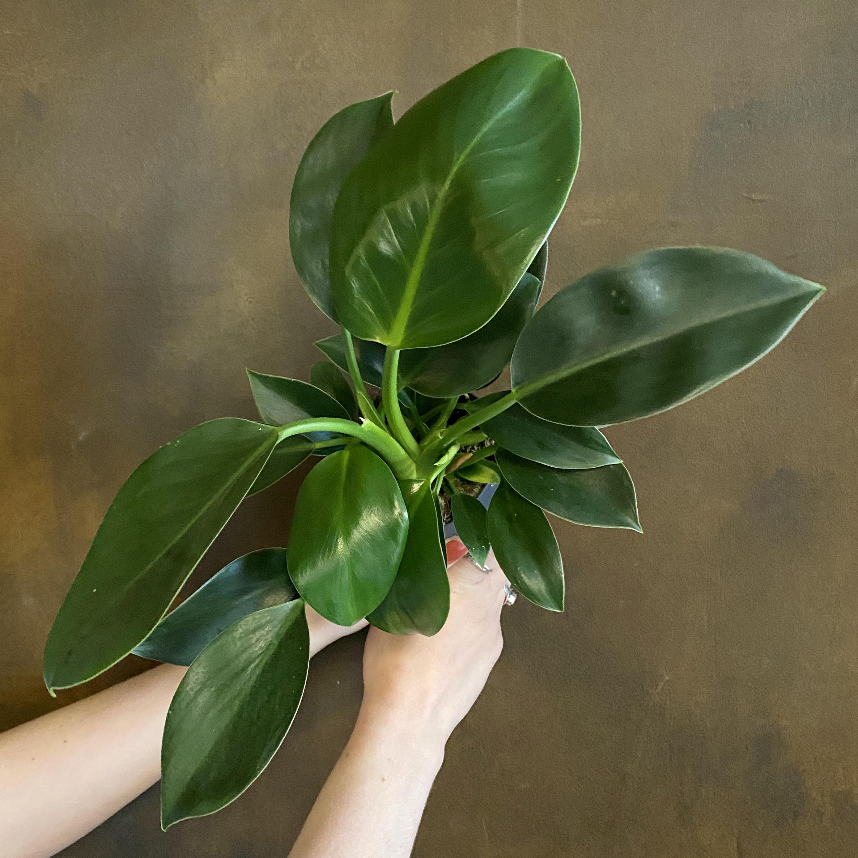 Philodendron 'Green Princess' (11cm pot)