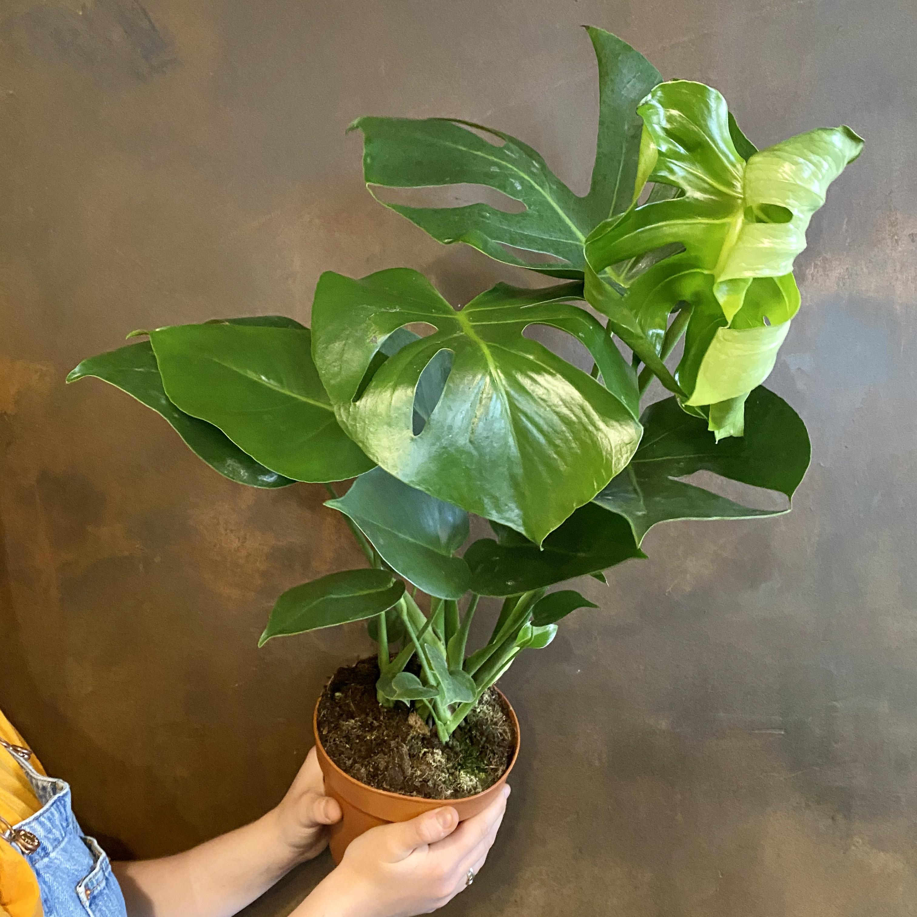 Monstera deliciosa (17cm pot)