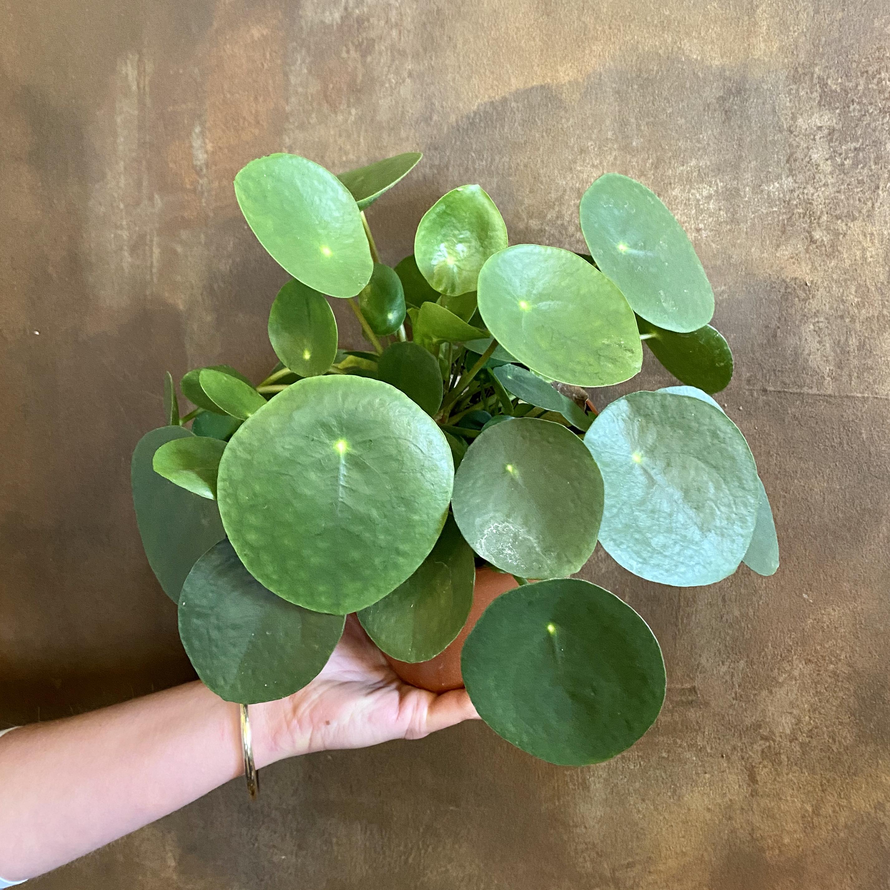 Pilea peperomioides (15cm pot)