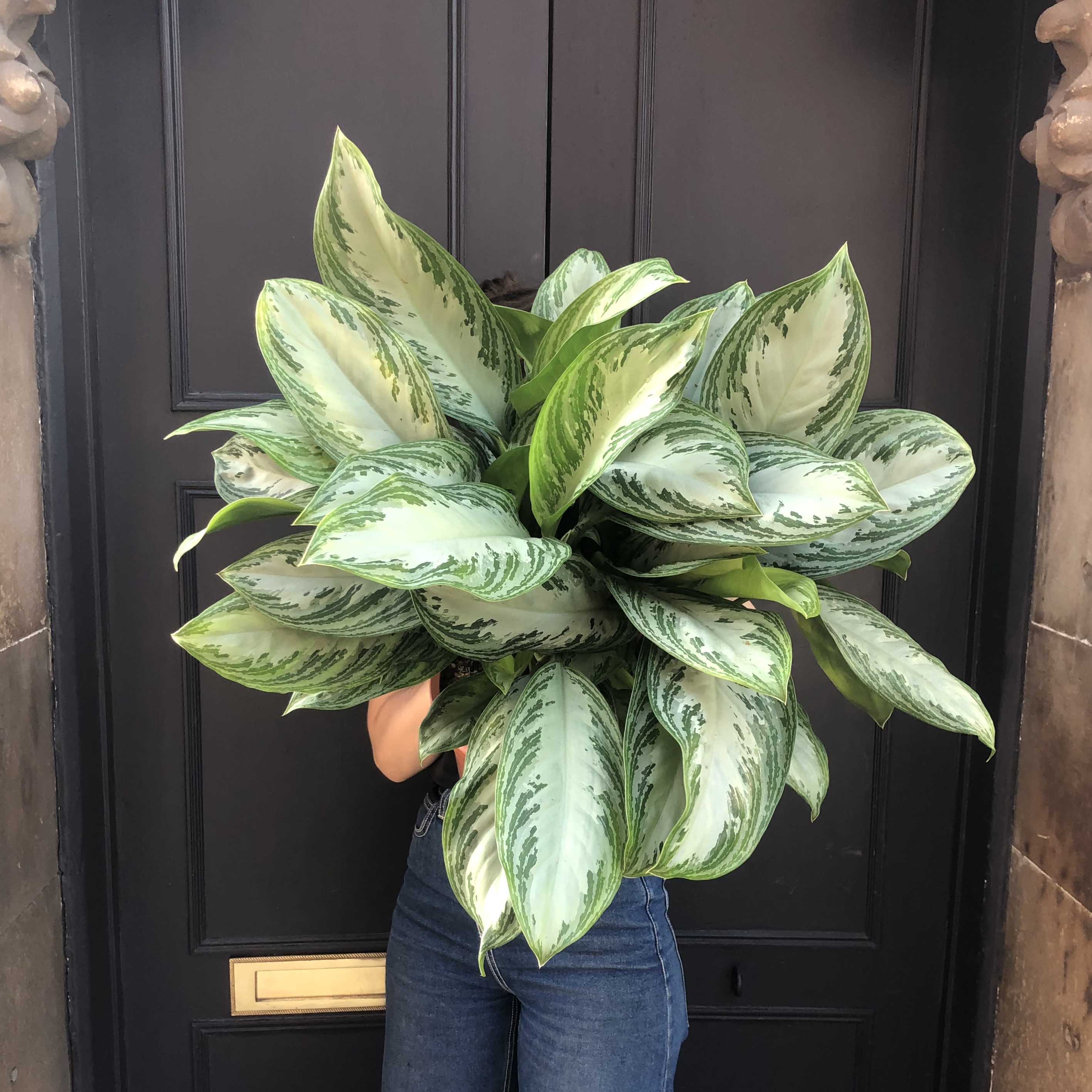 Aglaonema 'Silver Bay' (27cm pot)